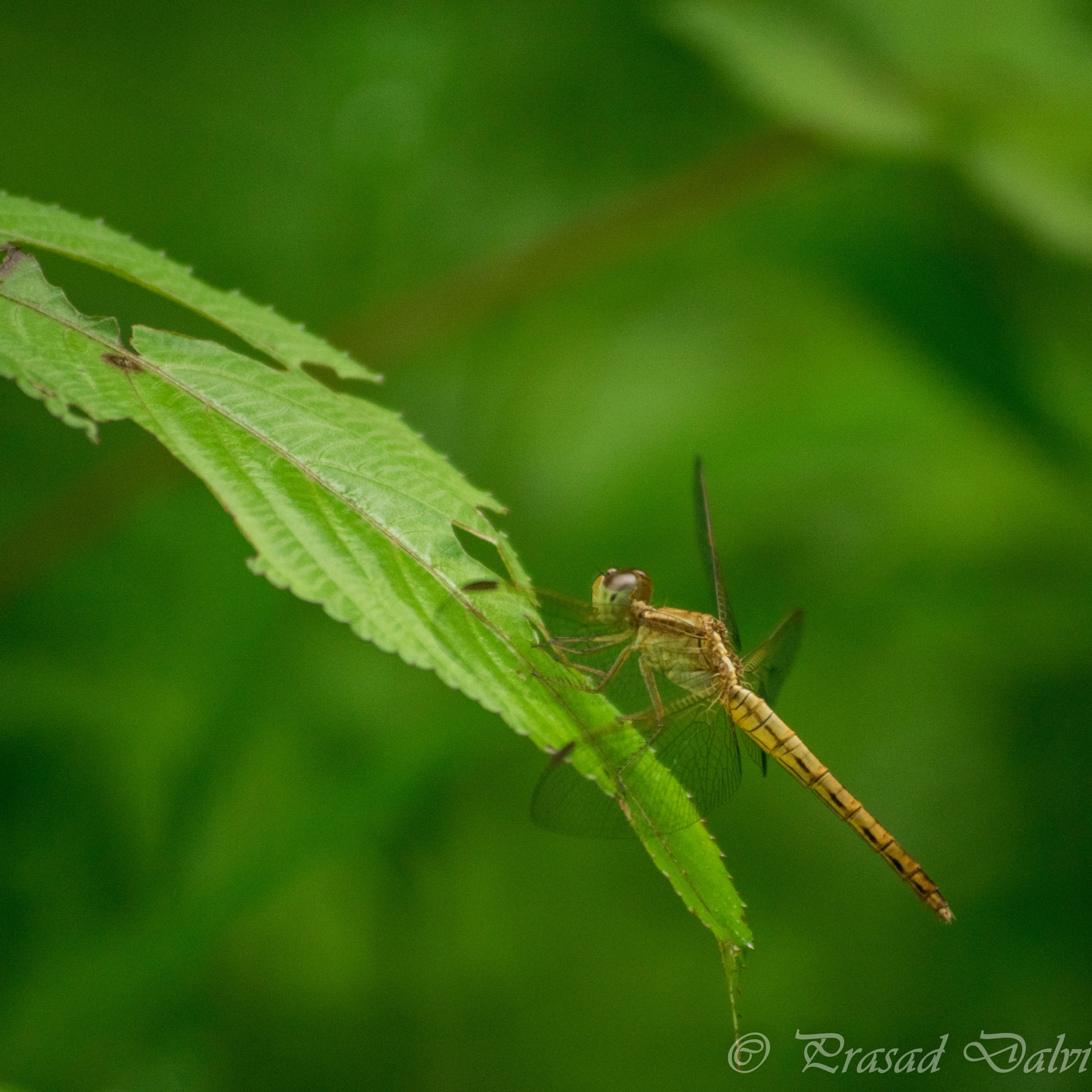 Dragonfly by Prasad Dalvi