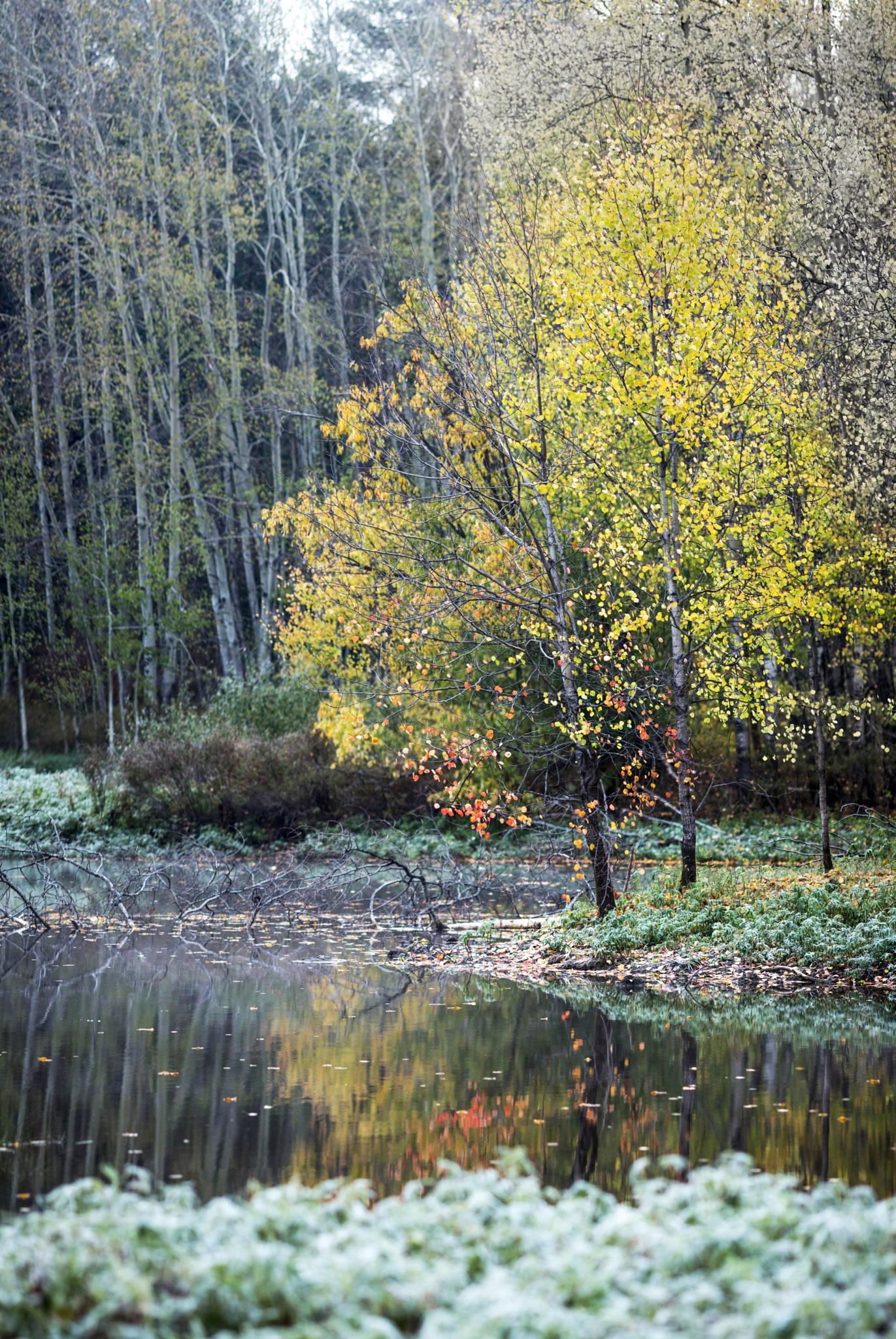 Березка на Монастырском озере by antiz