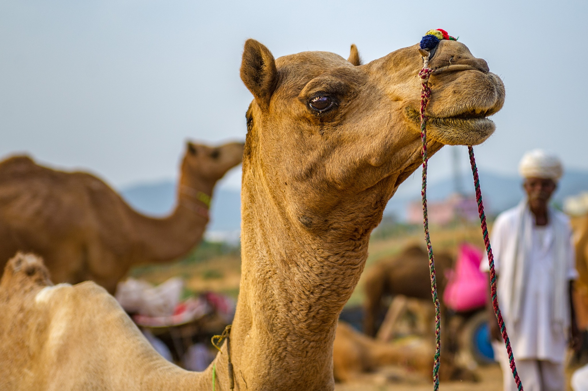 Pushkar Camels by Susan Laurie
