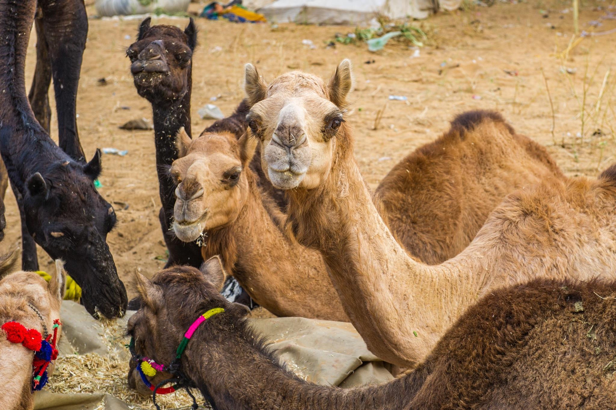 Pushkar Camels by Susan Laurie
