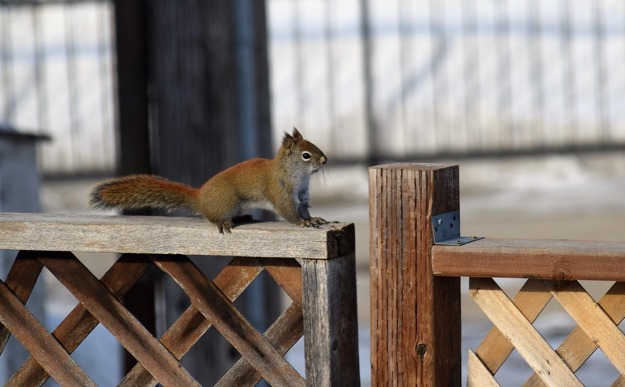 Squirrel 1 by Tracey Tg Gergulich