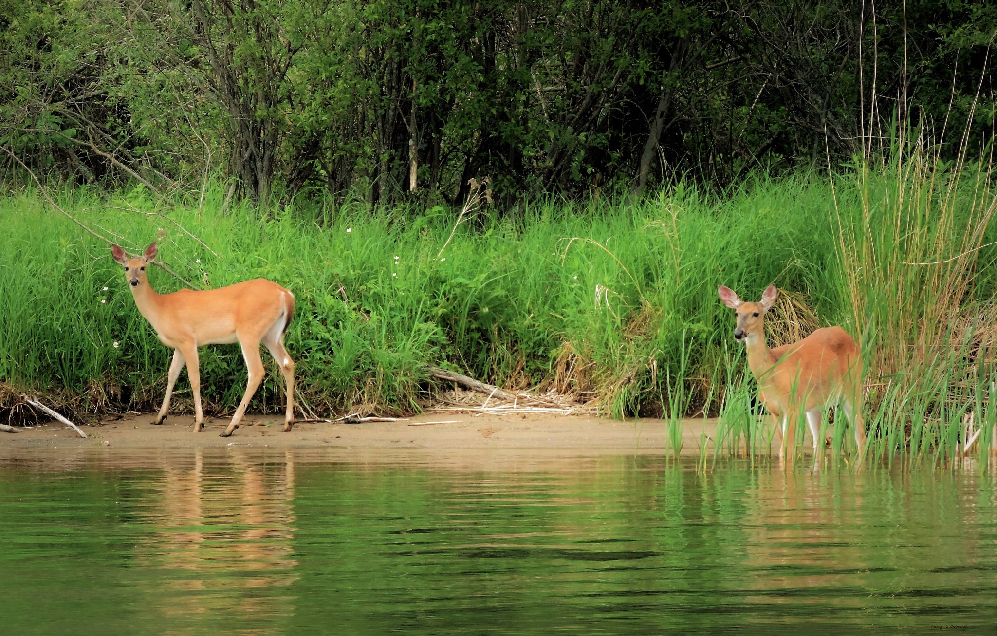 Visiting Deers by Tracey Tg Gergulich