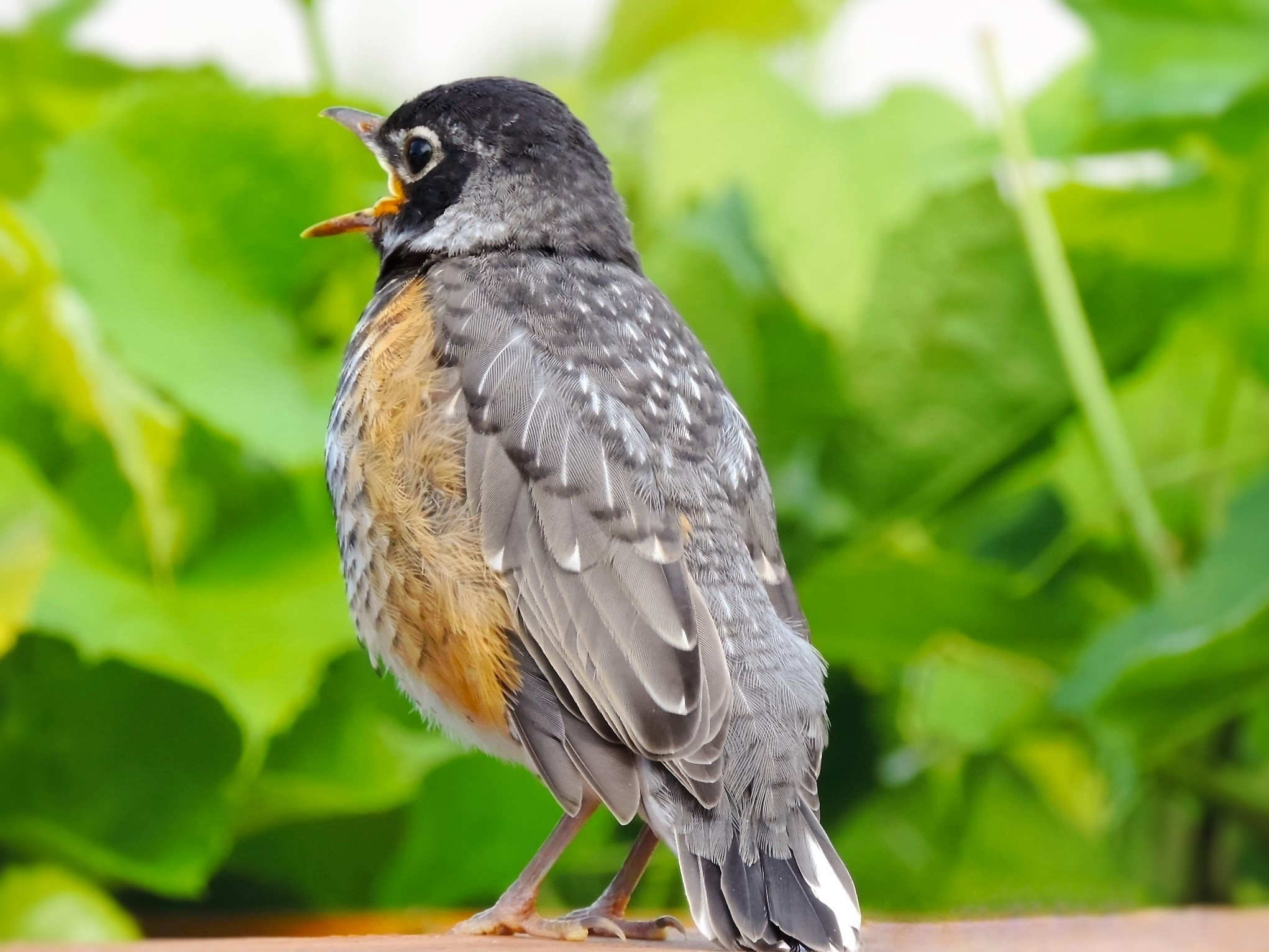 Young robin 2 by Tracey Tg Gergulich