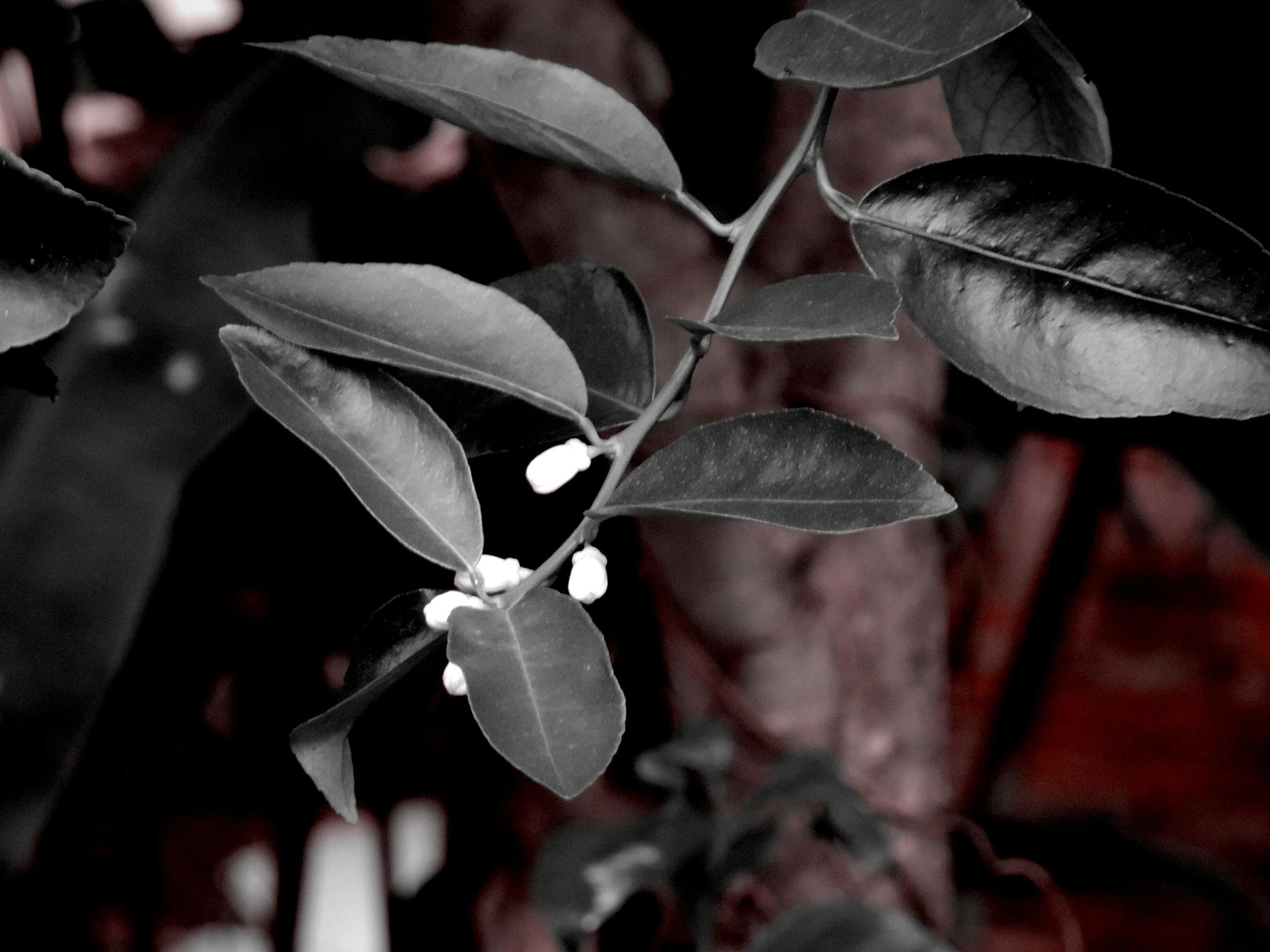 Folhas de limoeiro by Waldryano RJ