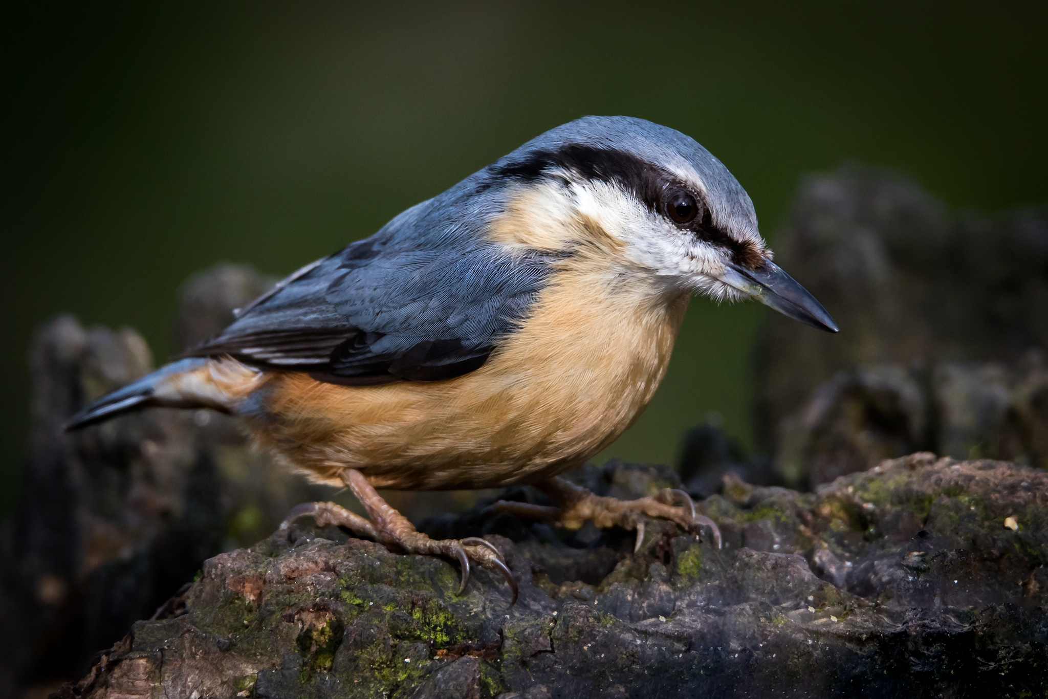 Nuthatch by Guy Dunn