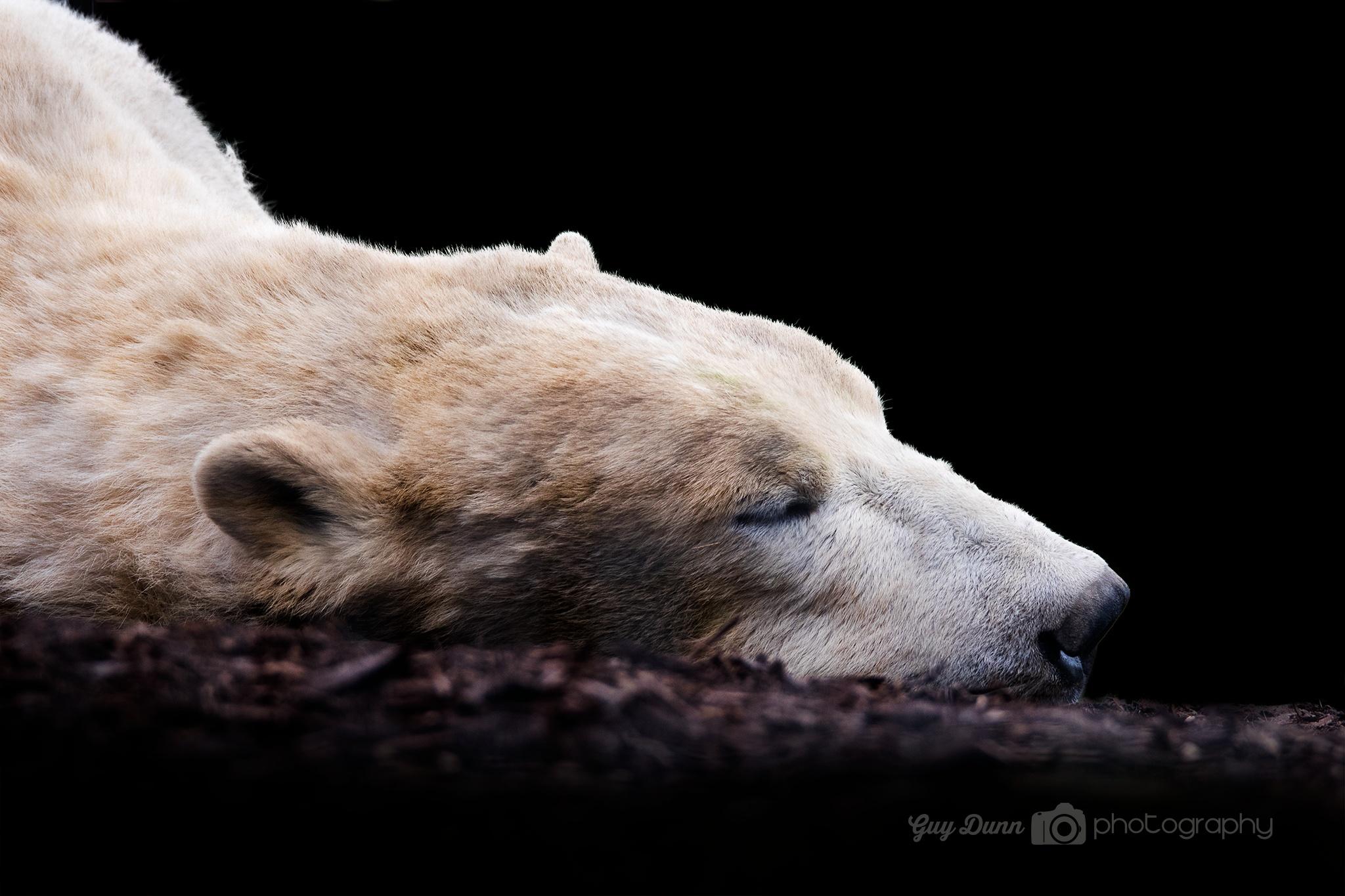 Photo in Animal #polar bear #sleeping #wildlife #park #uk #nature