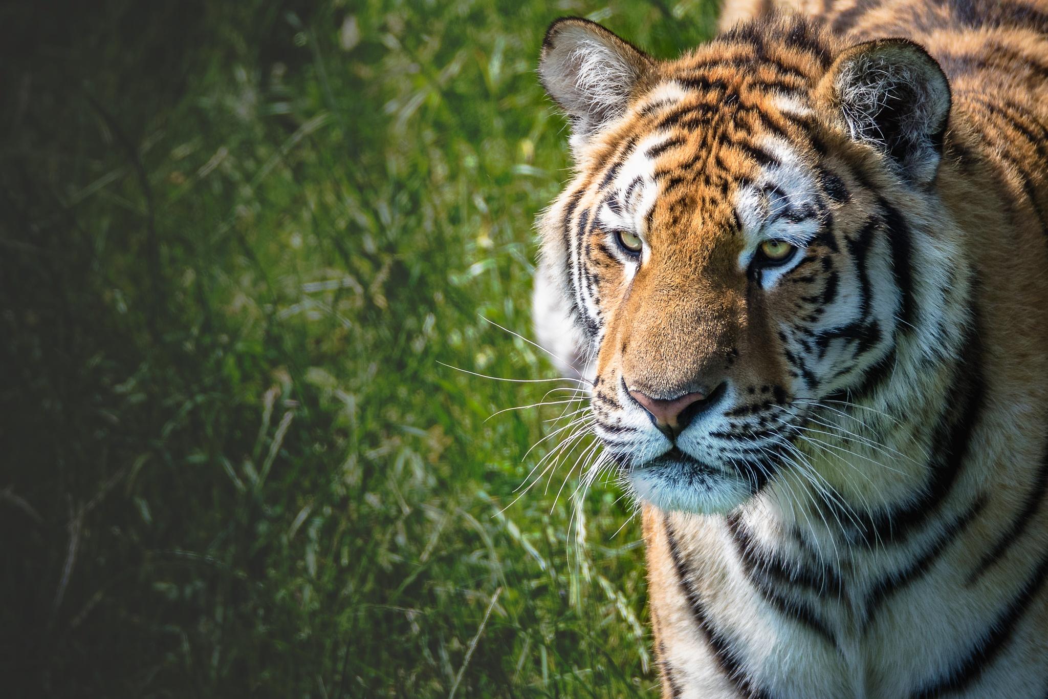 Photo in Animal #tiger #uk #doncaster #wildlife #zoo #animals