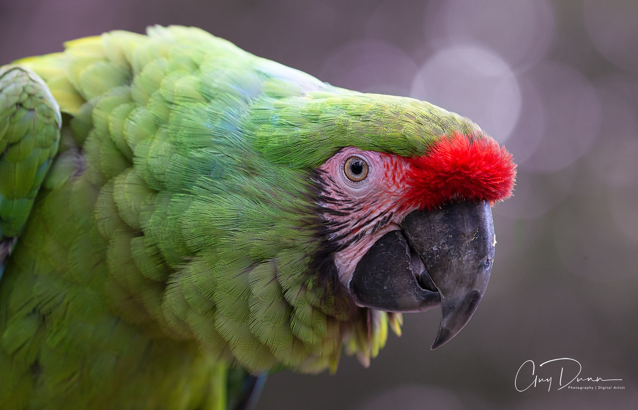 Great Green Macaw by Guy Dunn
