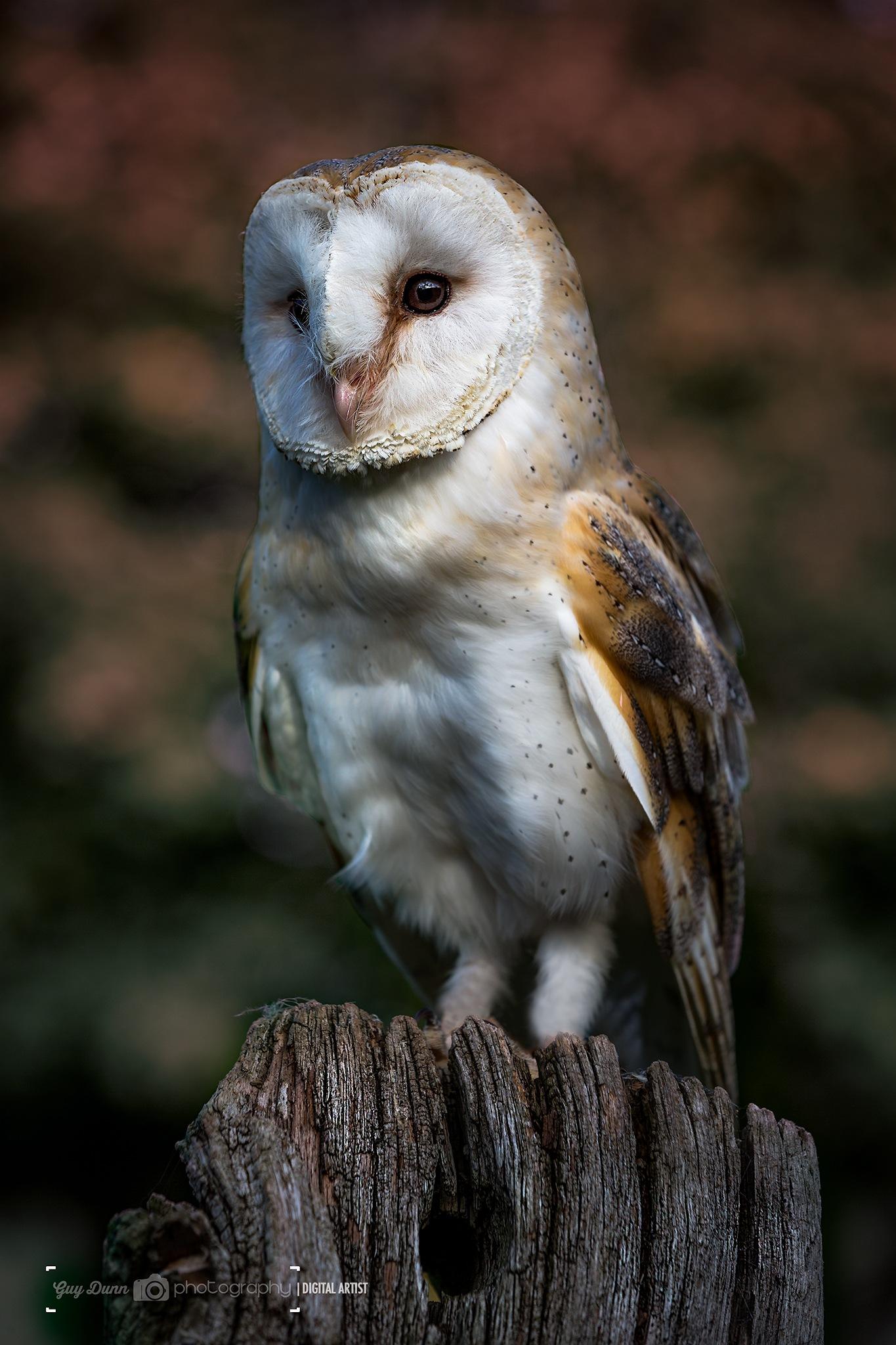 Barn Owl Portrait by Guy Dunn