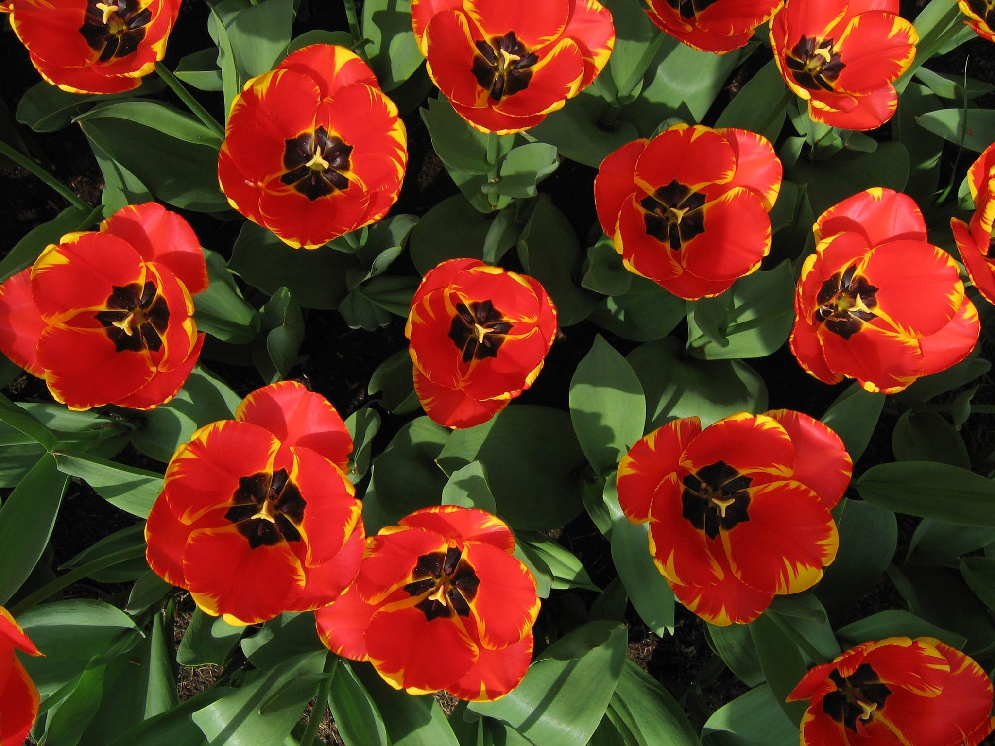 Tulips in Keukenhof by Fred Mellink