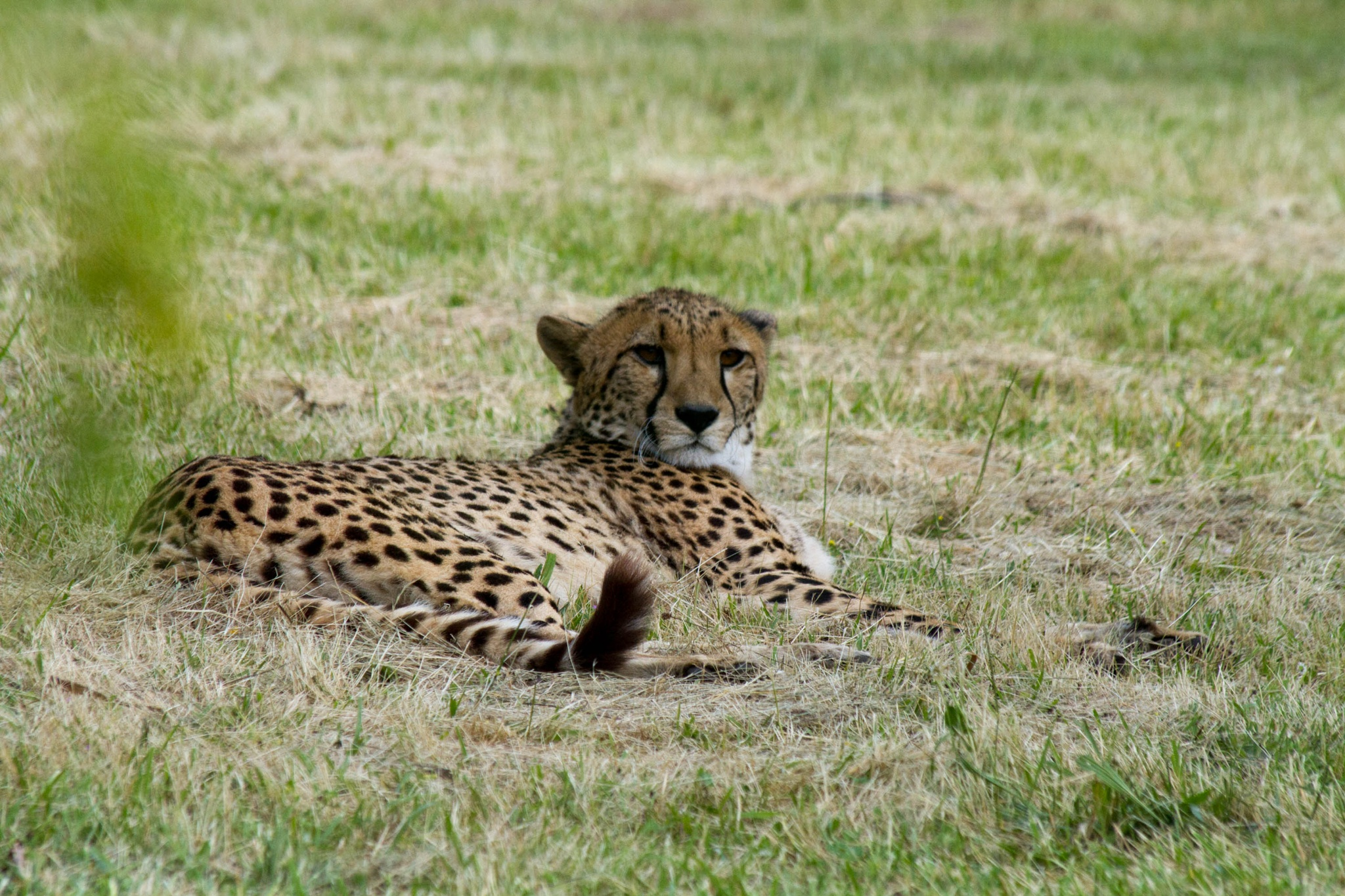 Cheetah on the savannah of Bio-Parc by Fred Mellink
