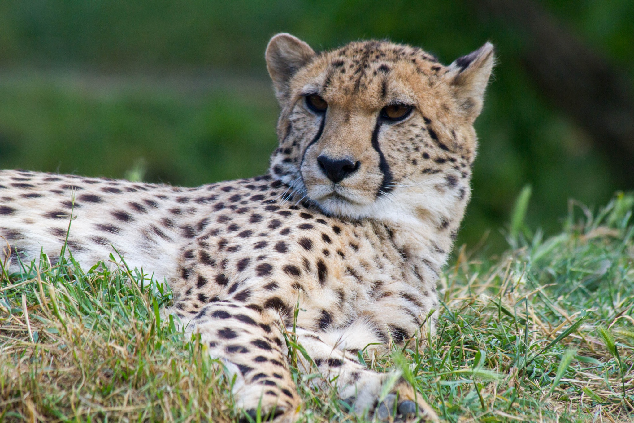 Portrait of a lazy cheetah by Fred Mellink