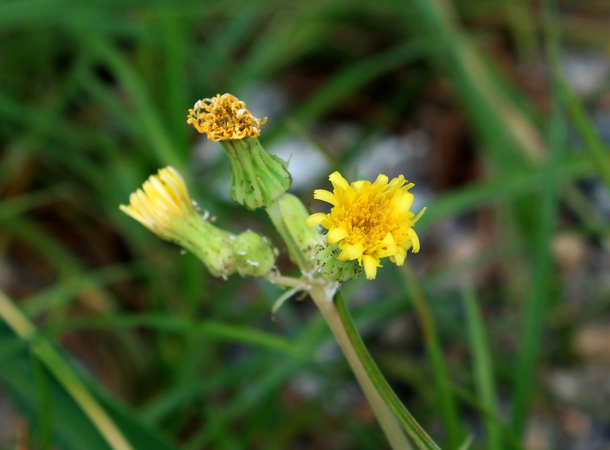 small yellow flower by Gadini