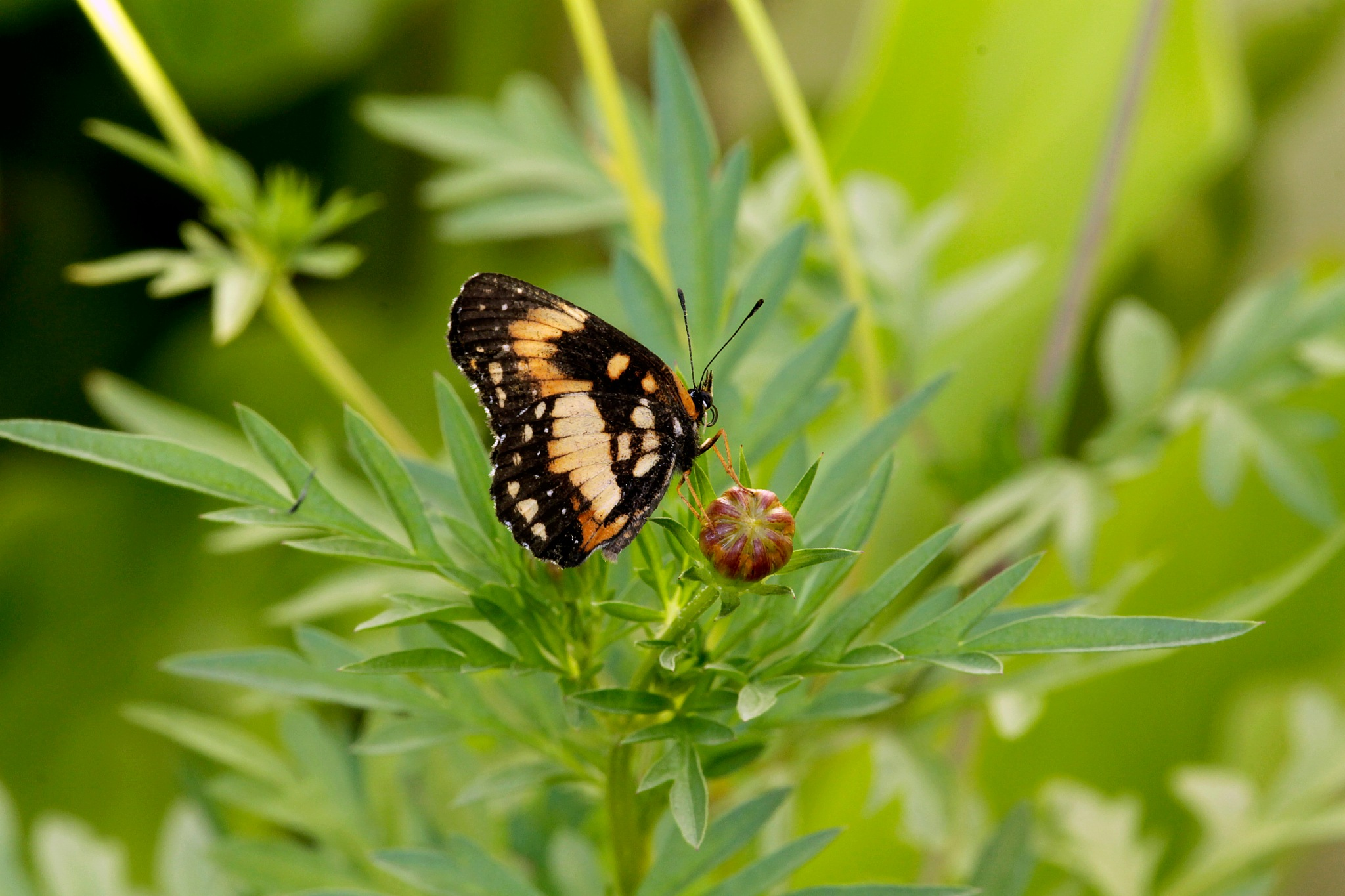 butterfly by Gadini