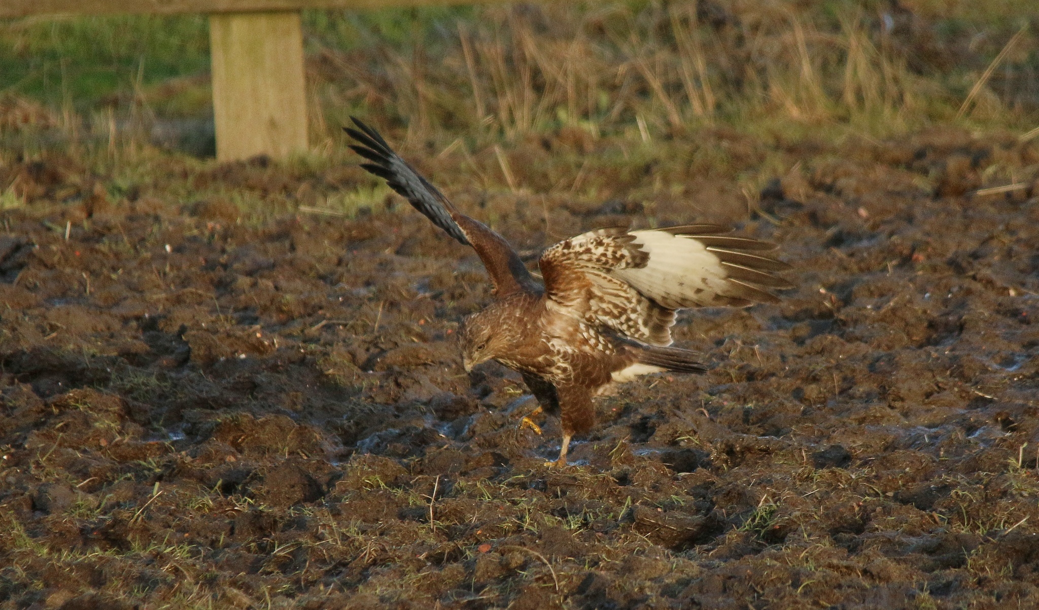 Young Buzzard catching earthworms  by annecotton