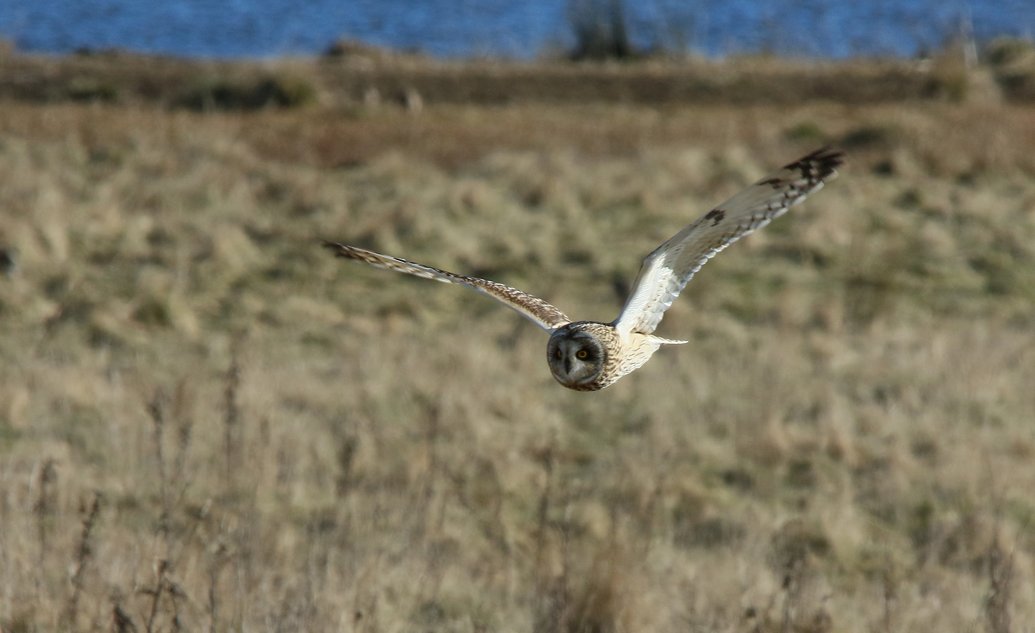 Short-eared Owl by annecotton