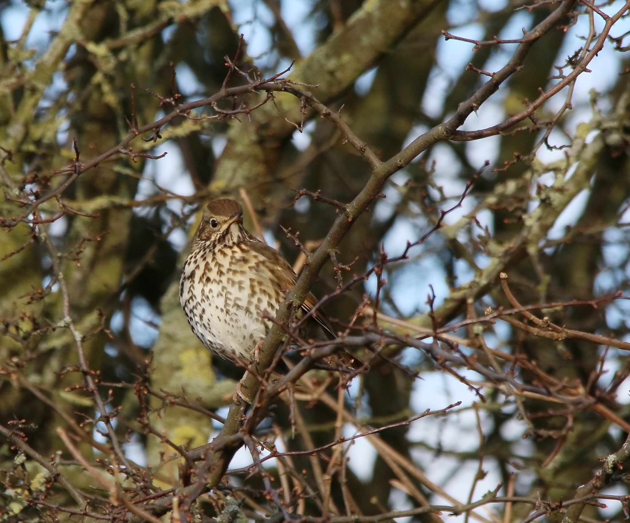 Song Thrush by annecotton