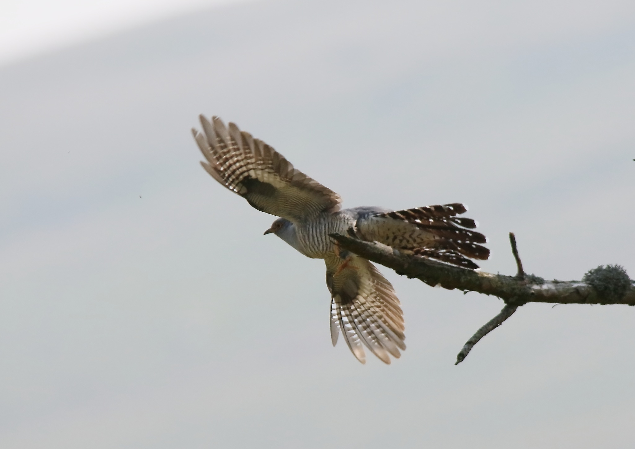 Common Cuckoo by annecotton