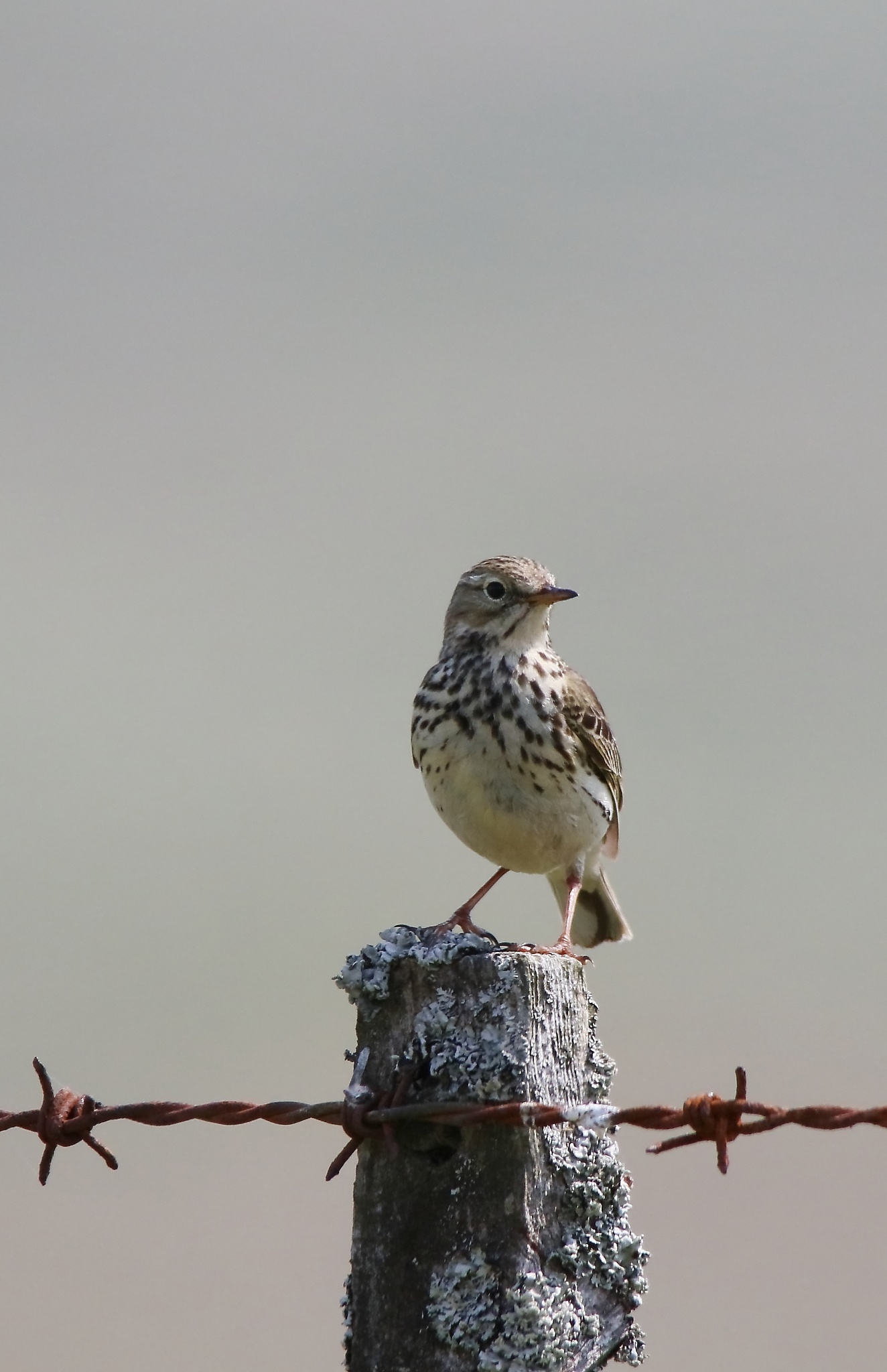Photo in Animal #meadow pipit #anthus pratensis #motacillidae