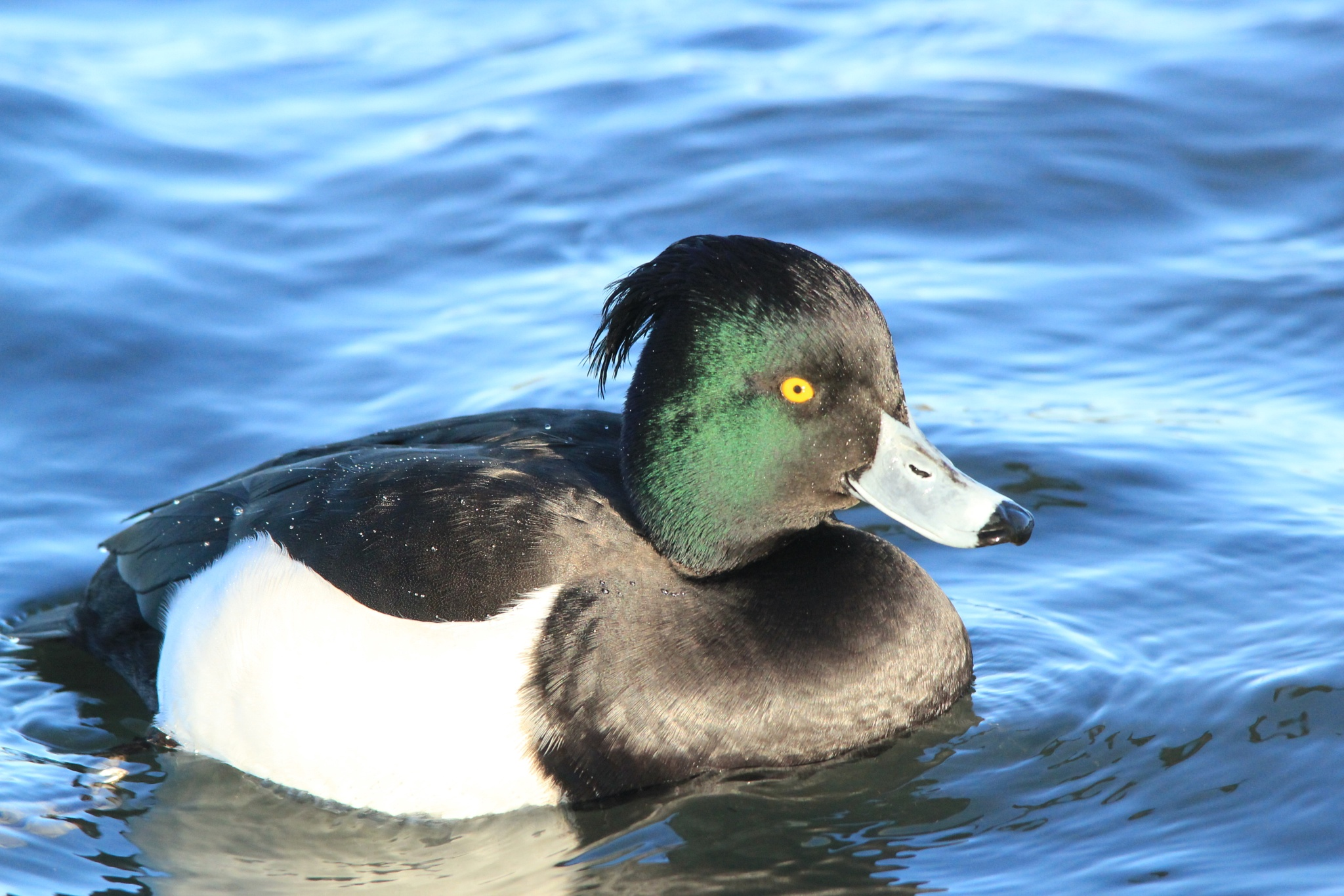 Male Tufted Duck by annecotton