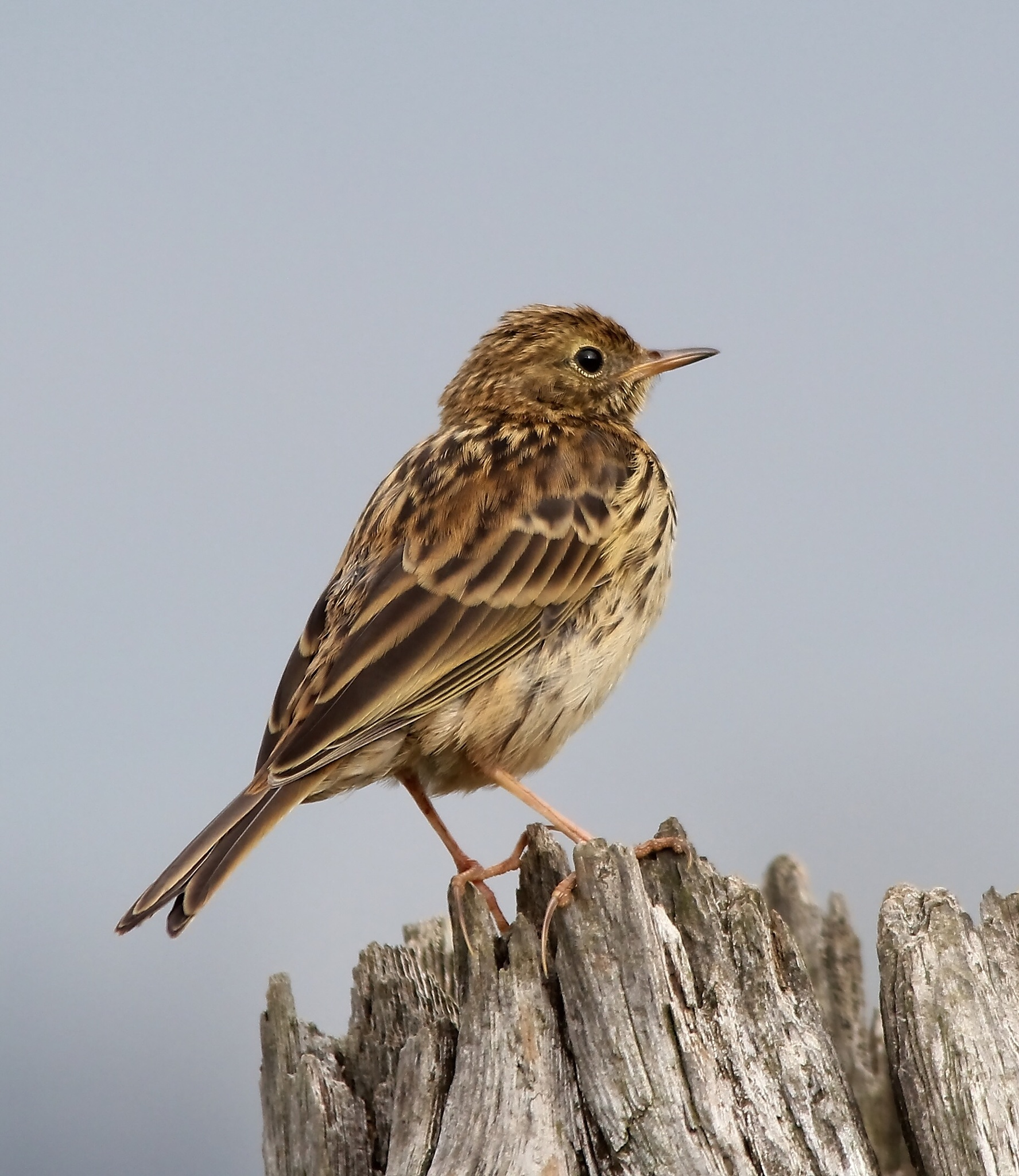 Meadow Pipit by annecotton