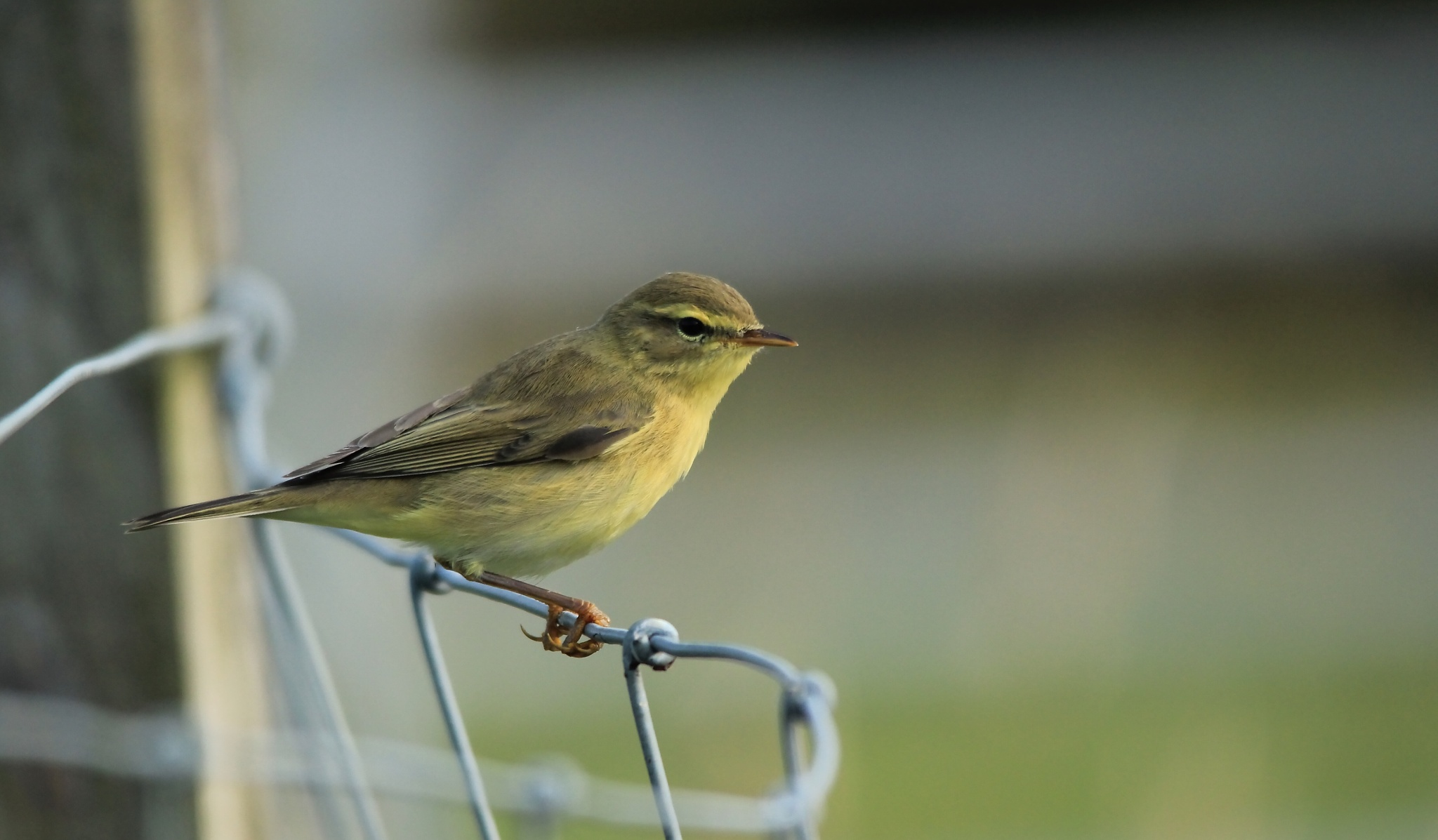 Juvenile Willow Warbler by annecotton