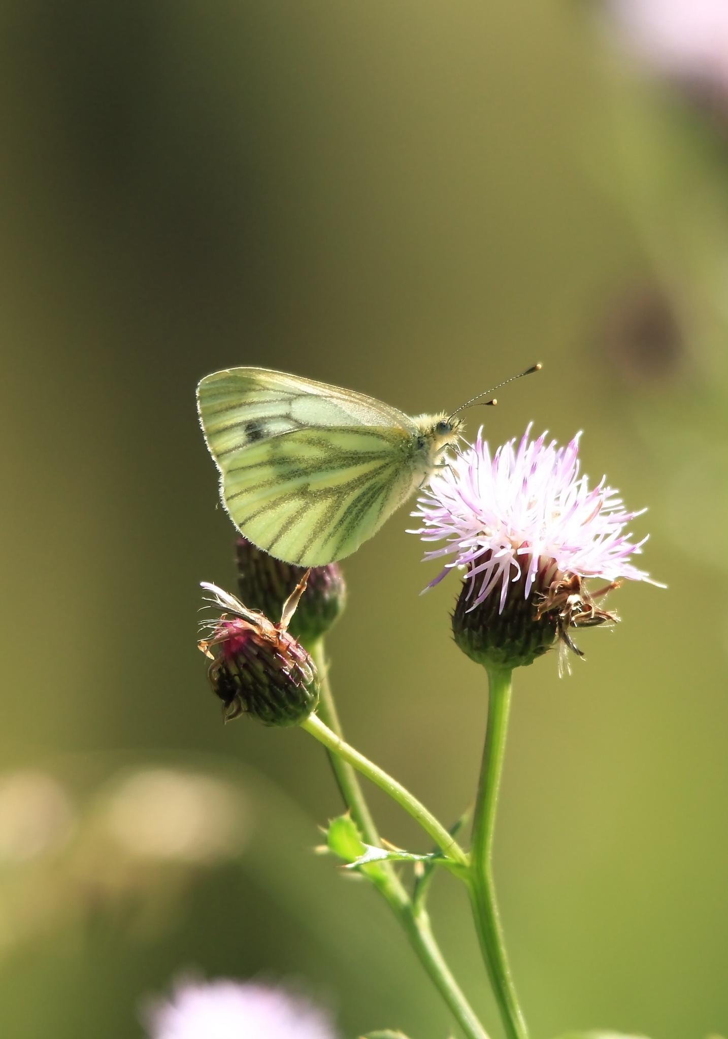 Green-veined White by annecotton