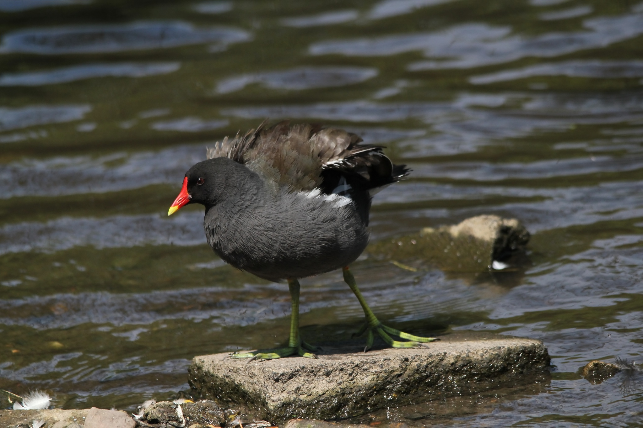 Common Moorhen by annecotton