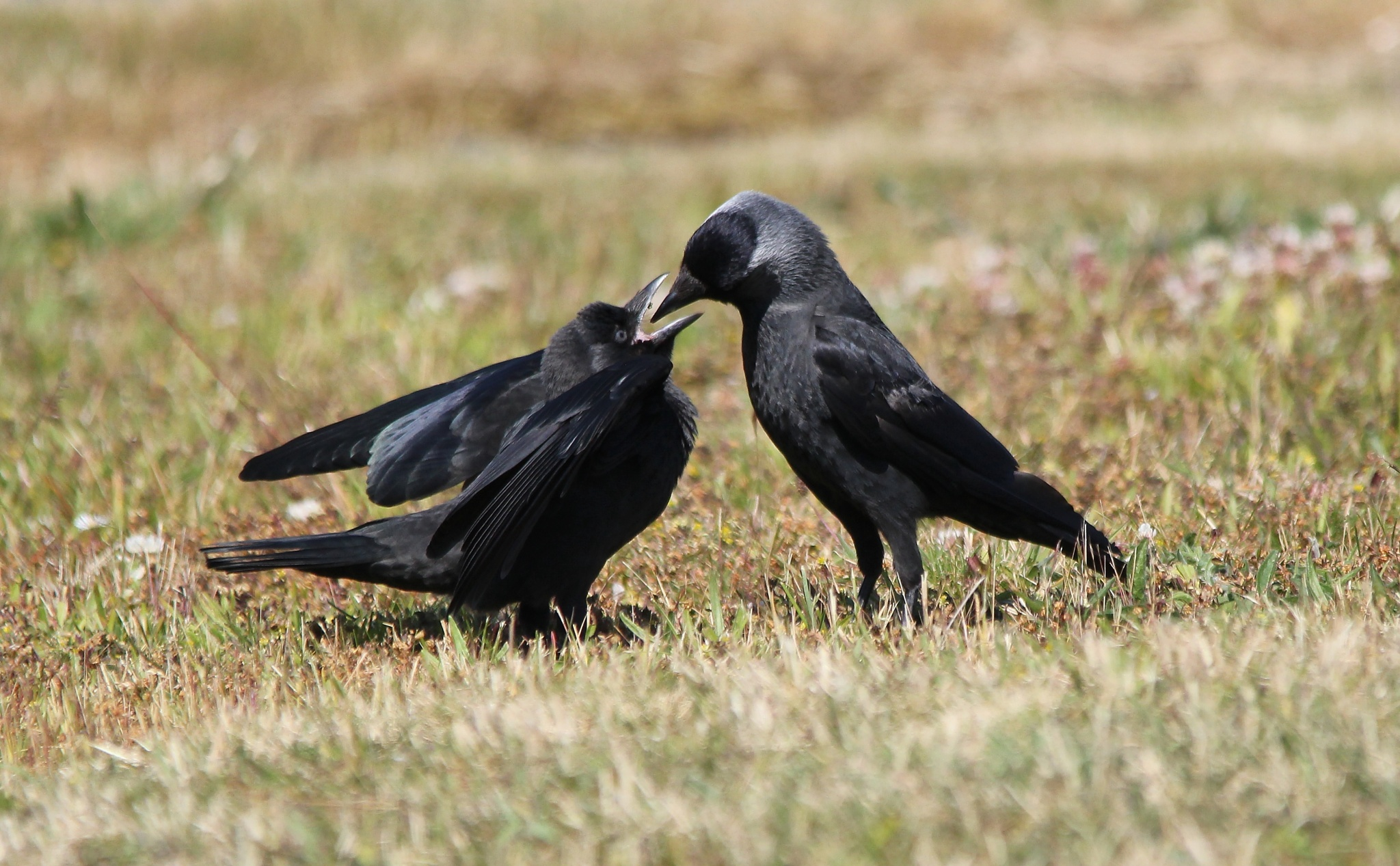 Jackdaw feeding young by annecotton