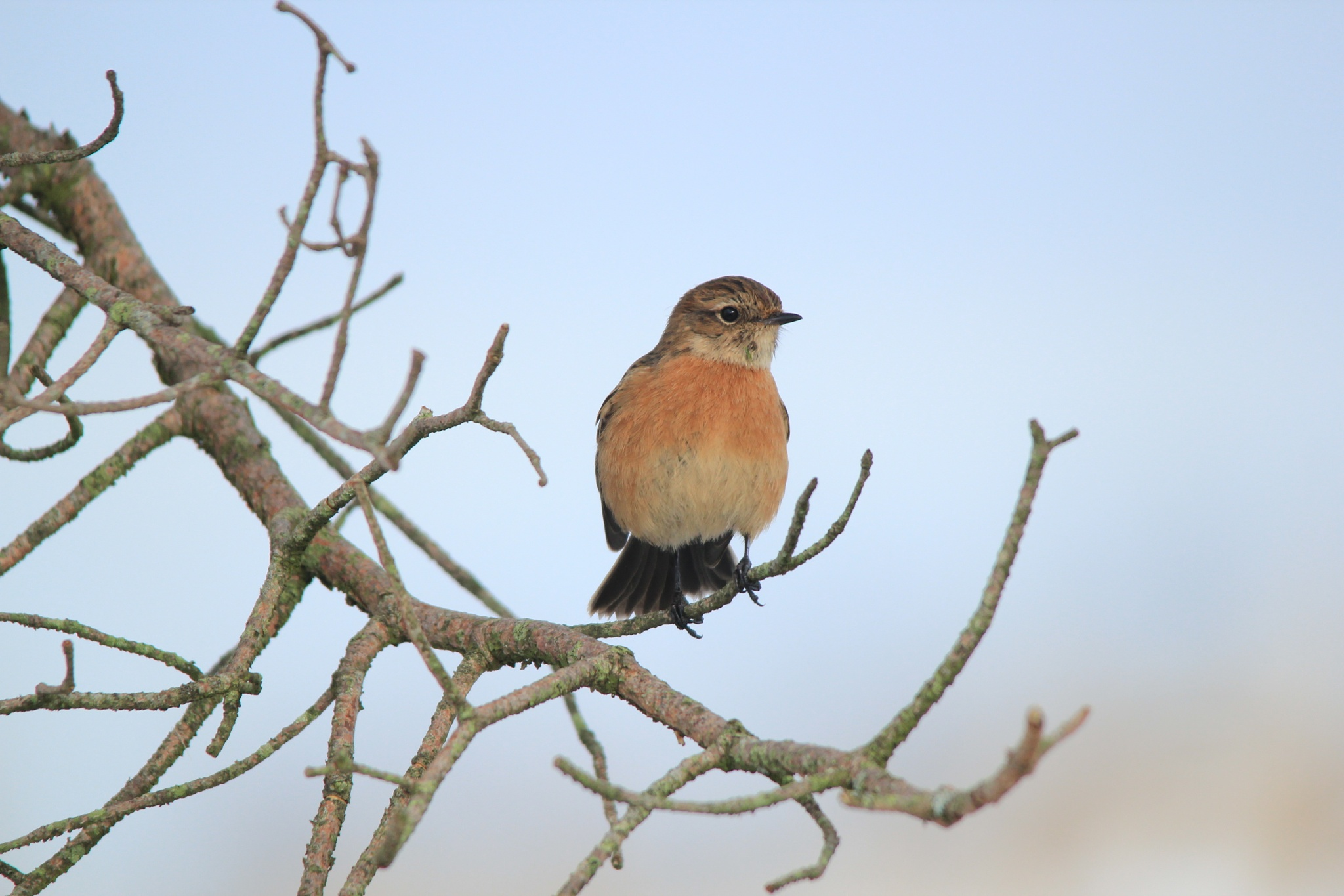 Female Stonechat by annecotton