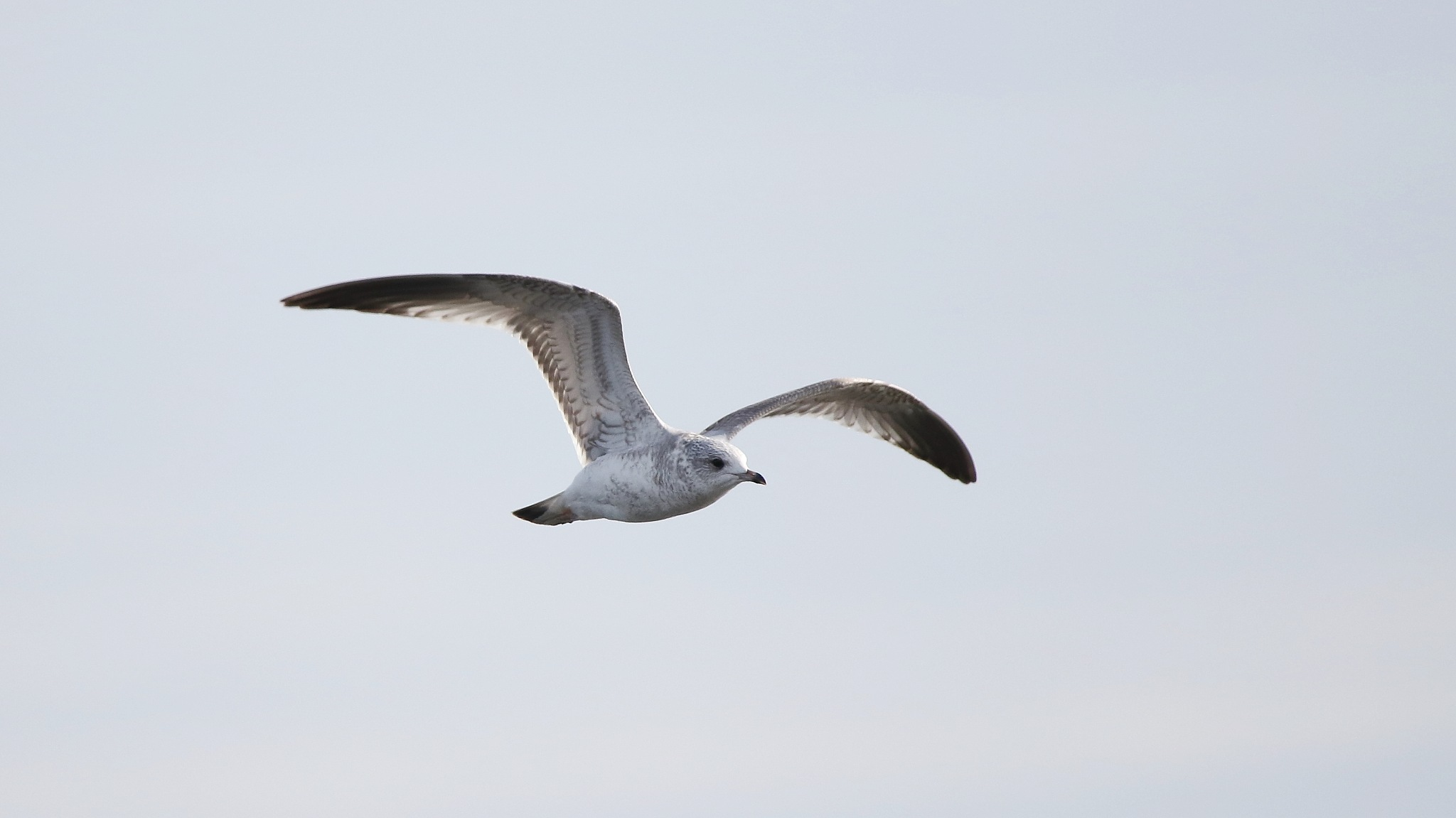 Young Common Gull by annecotton