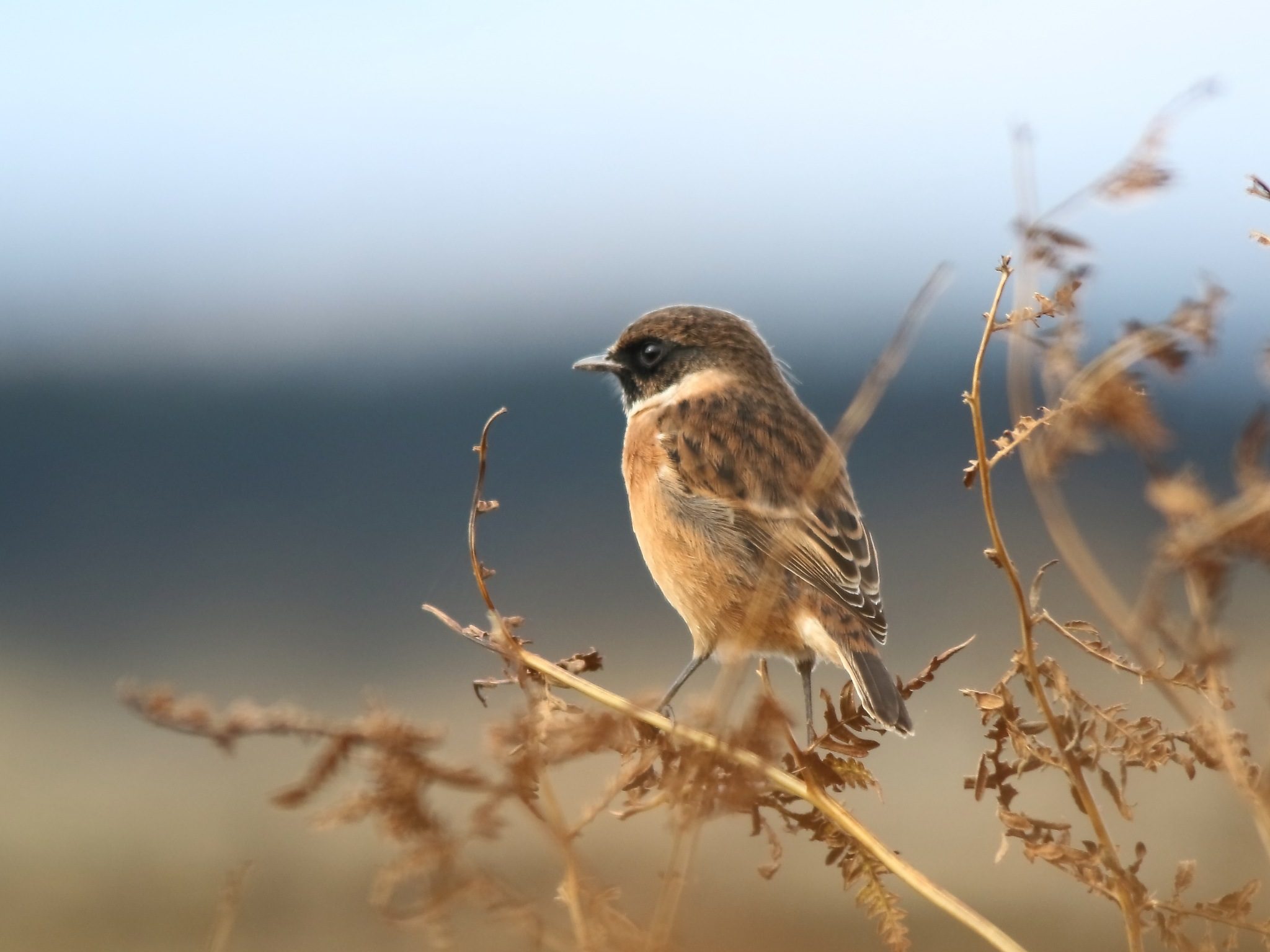 Winter male Stonechat by annecotton