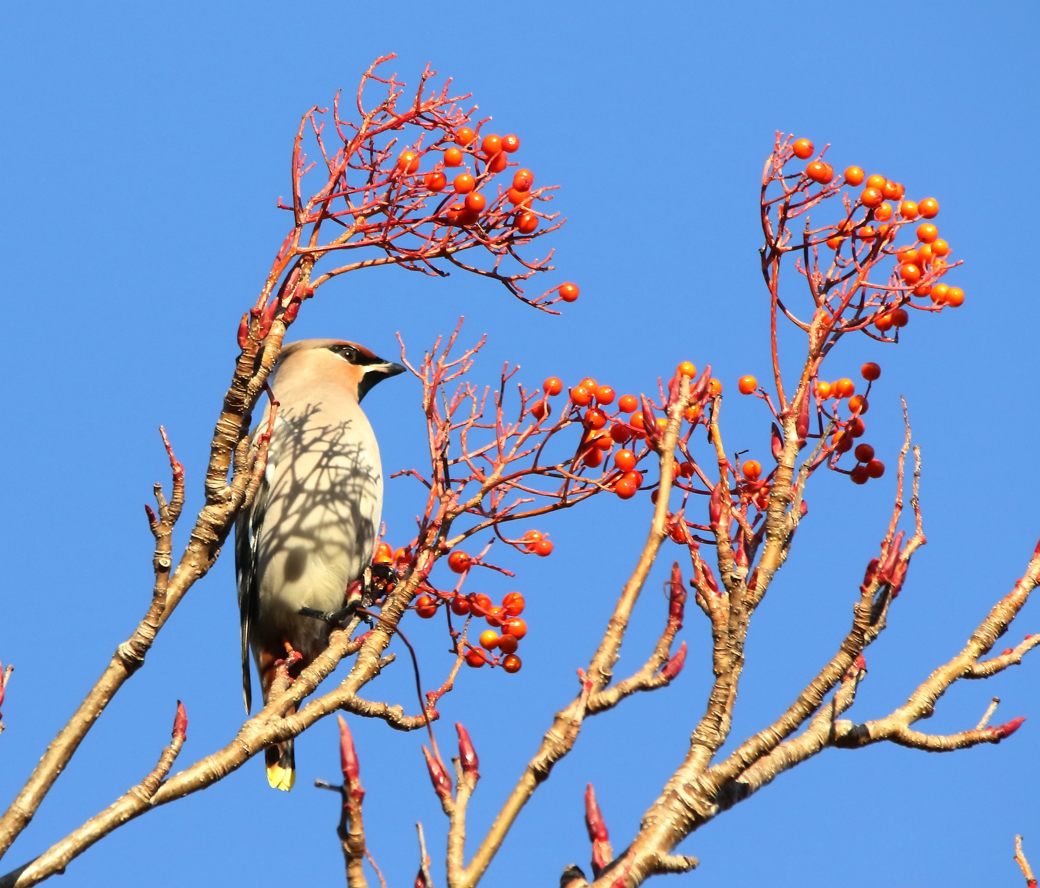 Bohemian Waxwing by annecotton