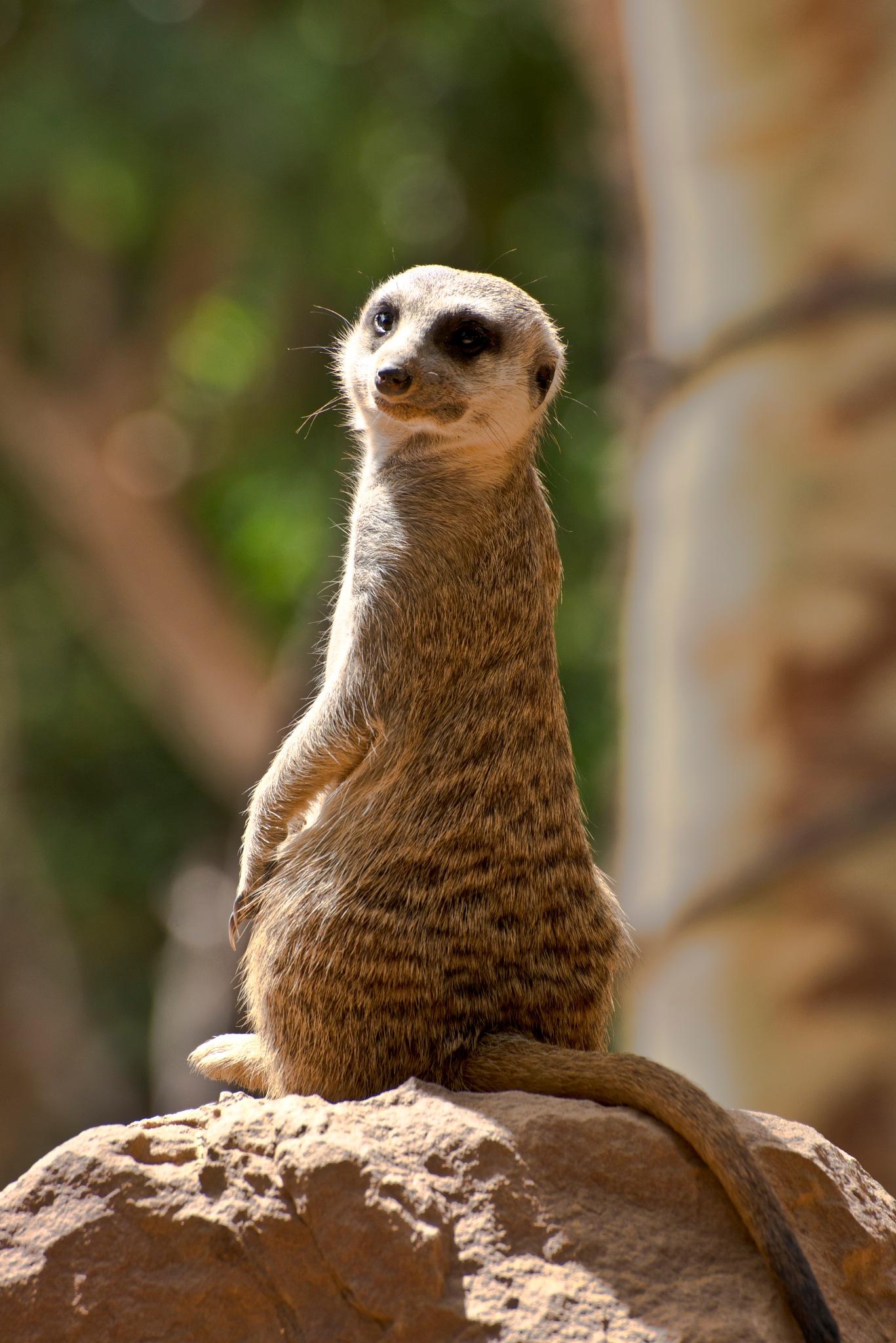 el vigilante del grupo (suricato) by agmaca