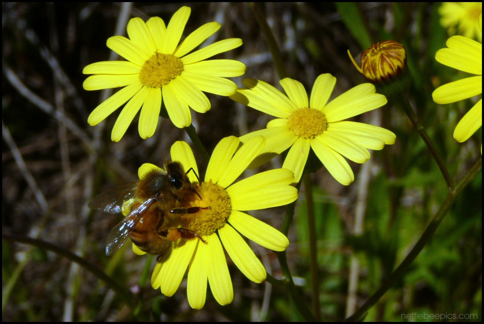 Bee on Yellow Daisies by Nettie Bee