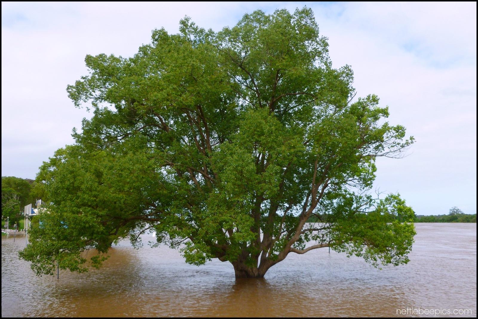 Fig Tree in Flood by Nettie Bee