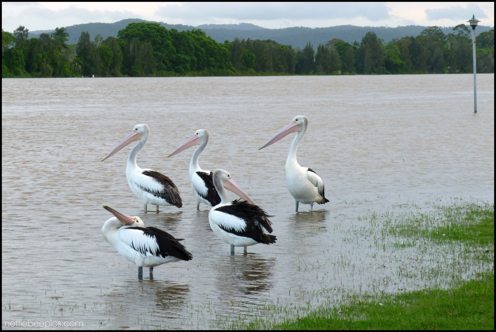 Pelicans in the Park and River at the Same Time by Nettie Bee