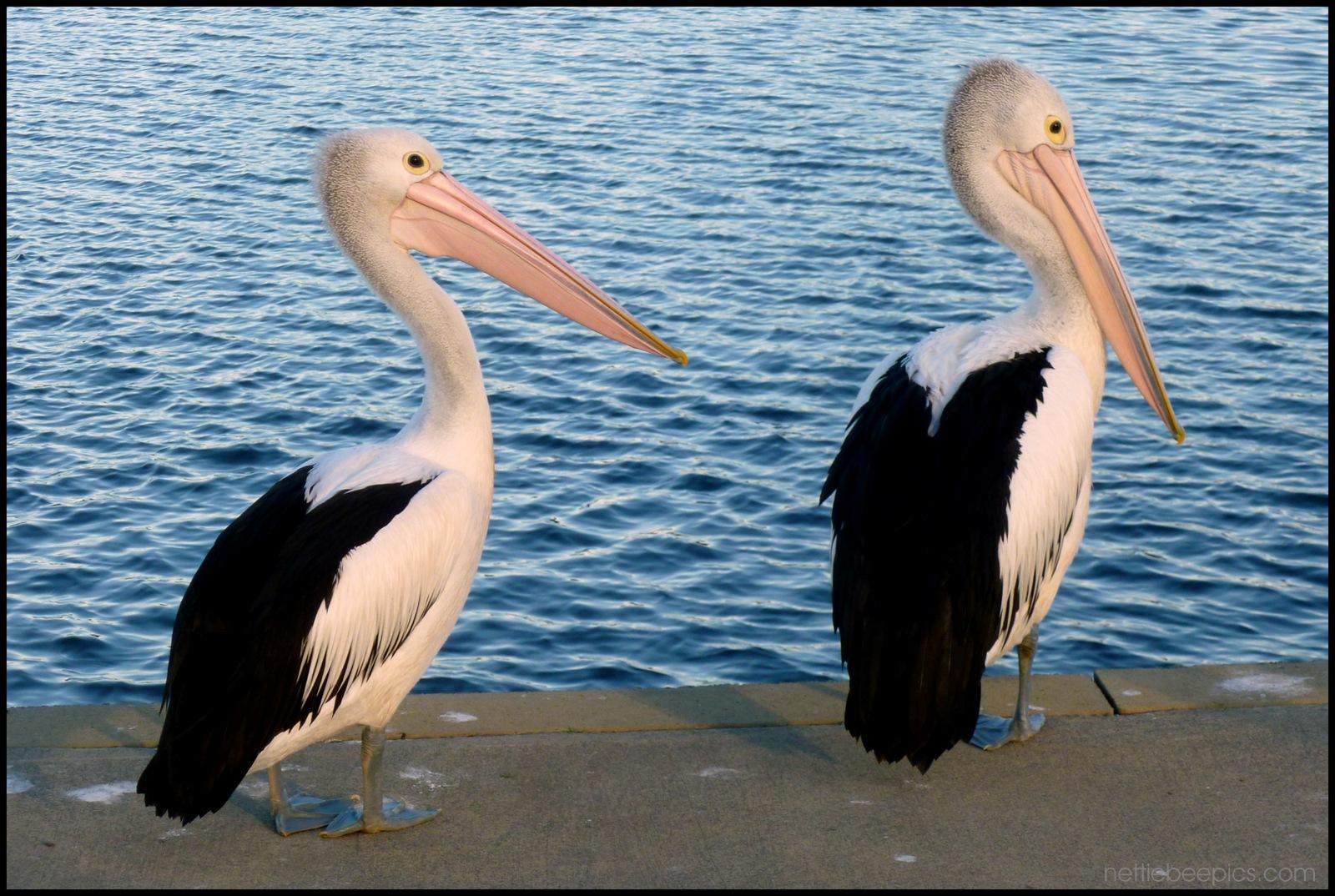 Pelican Pair on the Riverbank 1 by Nettie Bee