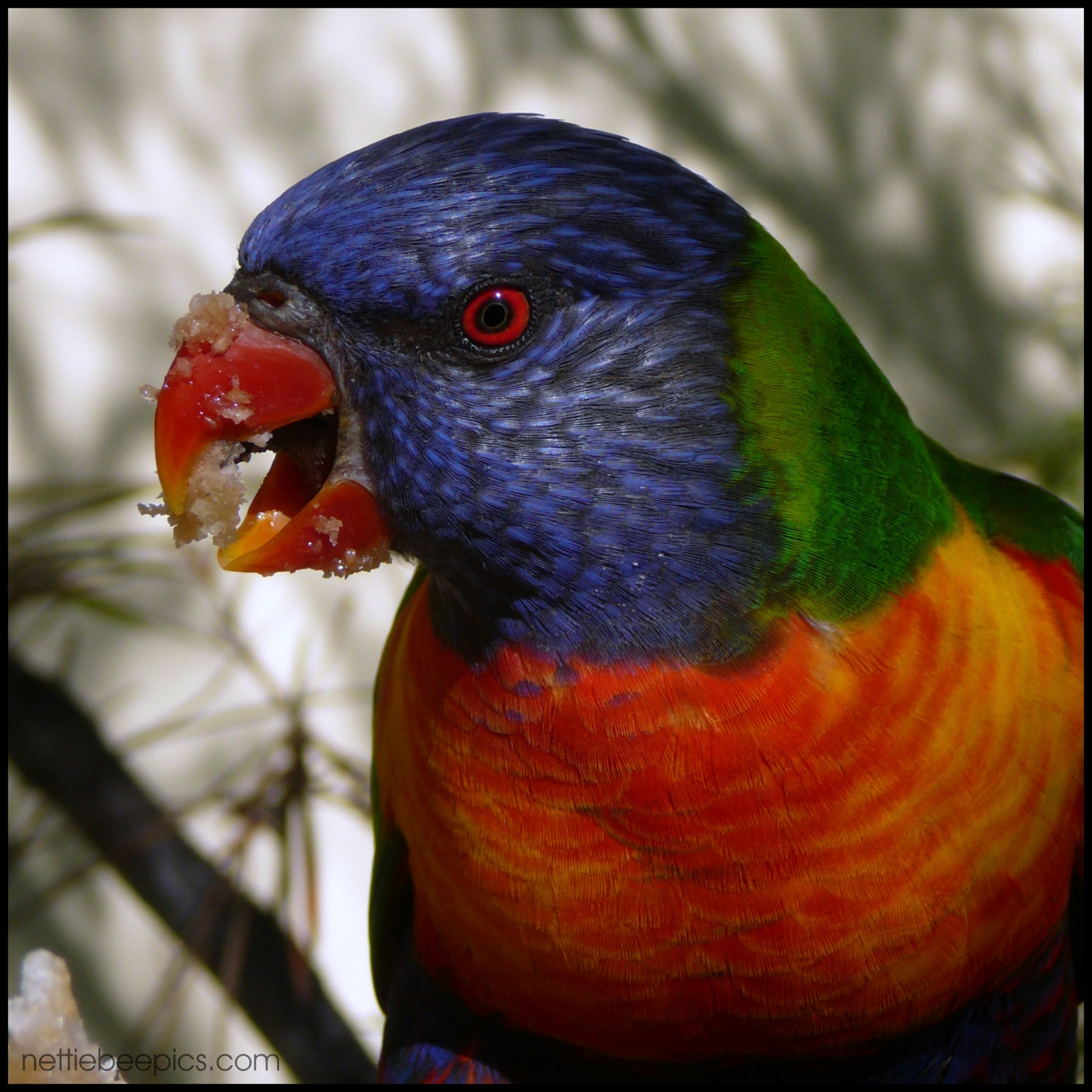 Rainbow Lorikeet with Sticky Beak Close Up by Nettie Bee