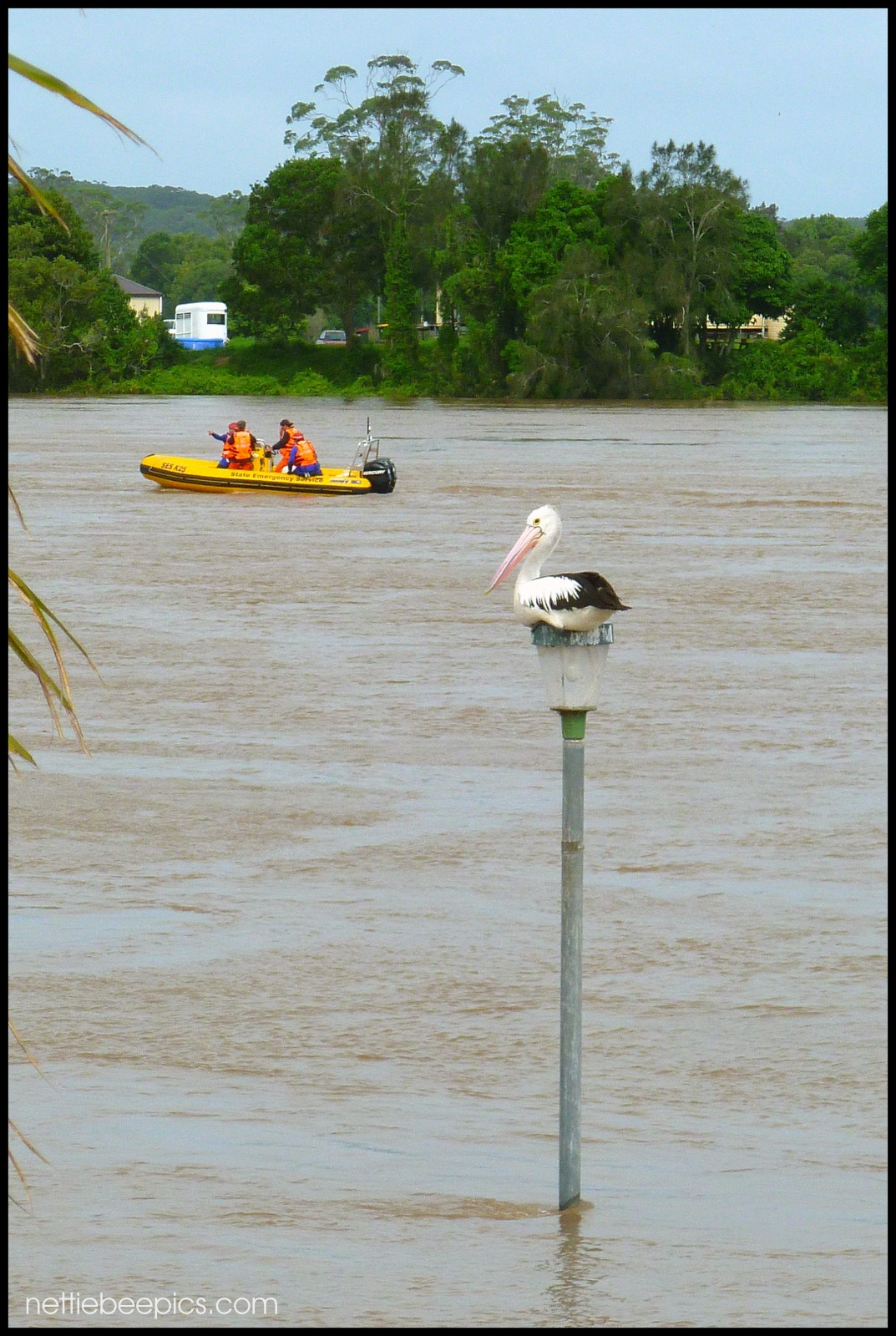 Pelican On Flood Watch by Nettie Bee