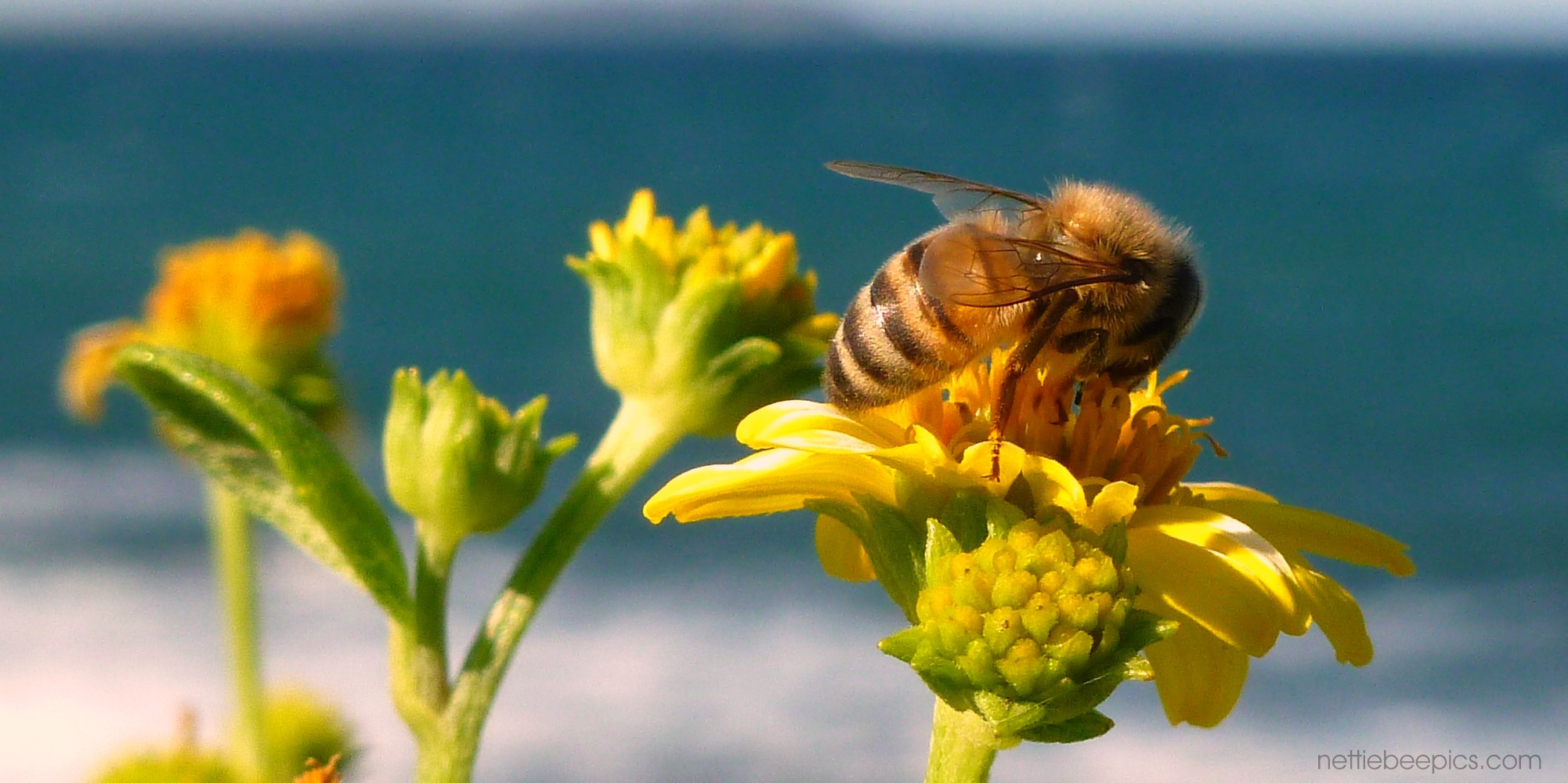 Honey Bee at the Beach Cover Photo by Nettie Bee
