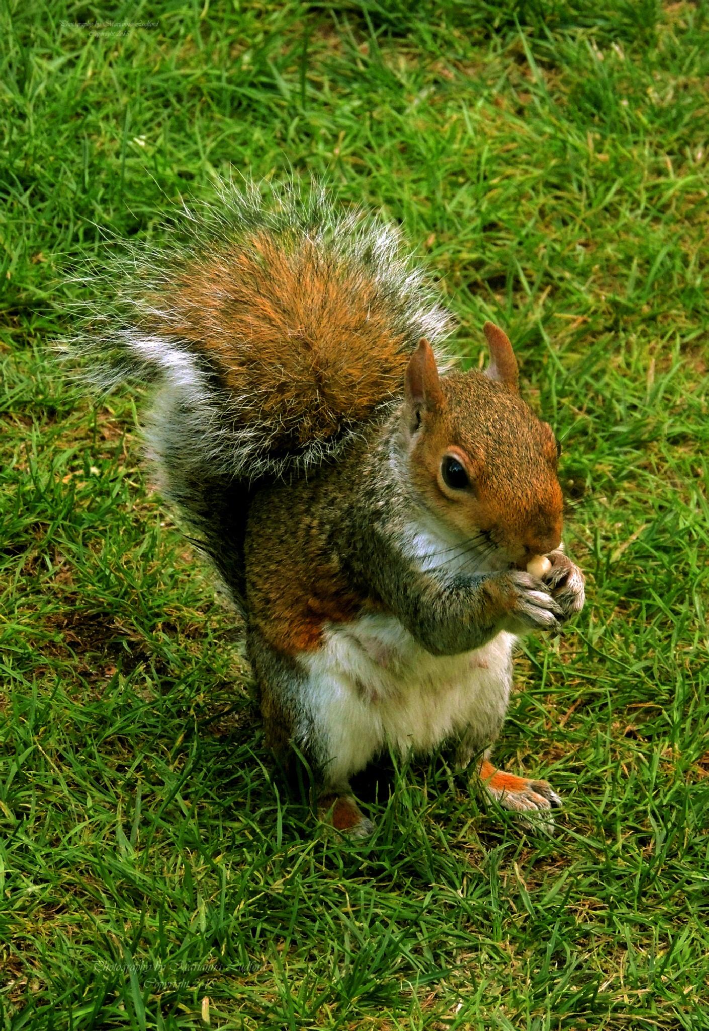 Squirrel  by marinna67