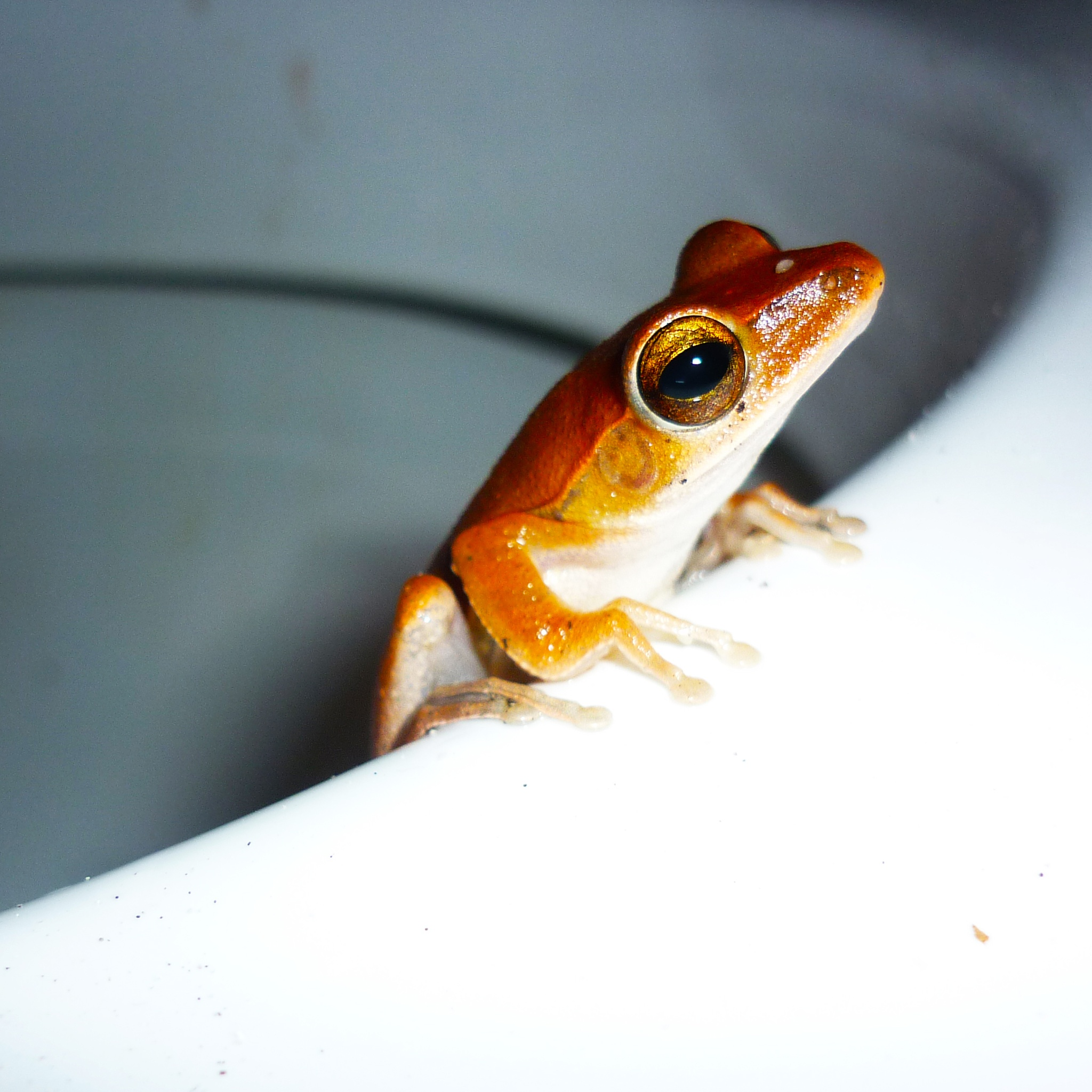 Thailand Frog by Jeans Brown Photography / Jens Schwarz