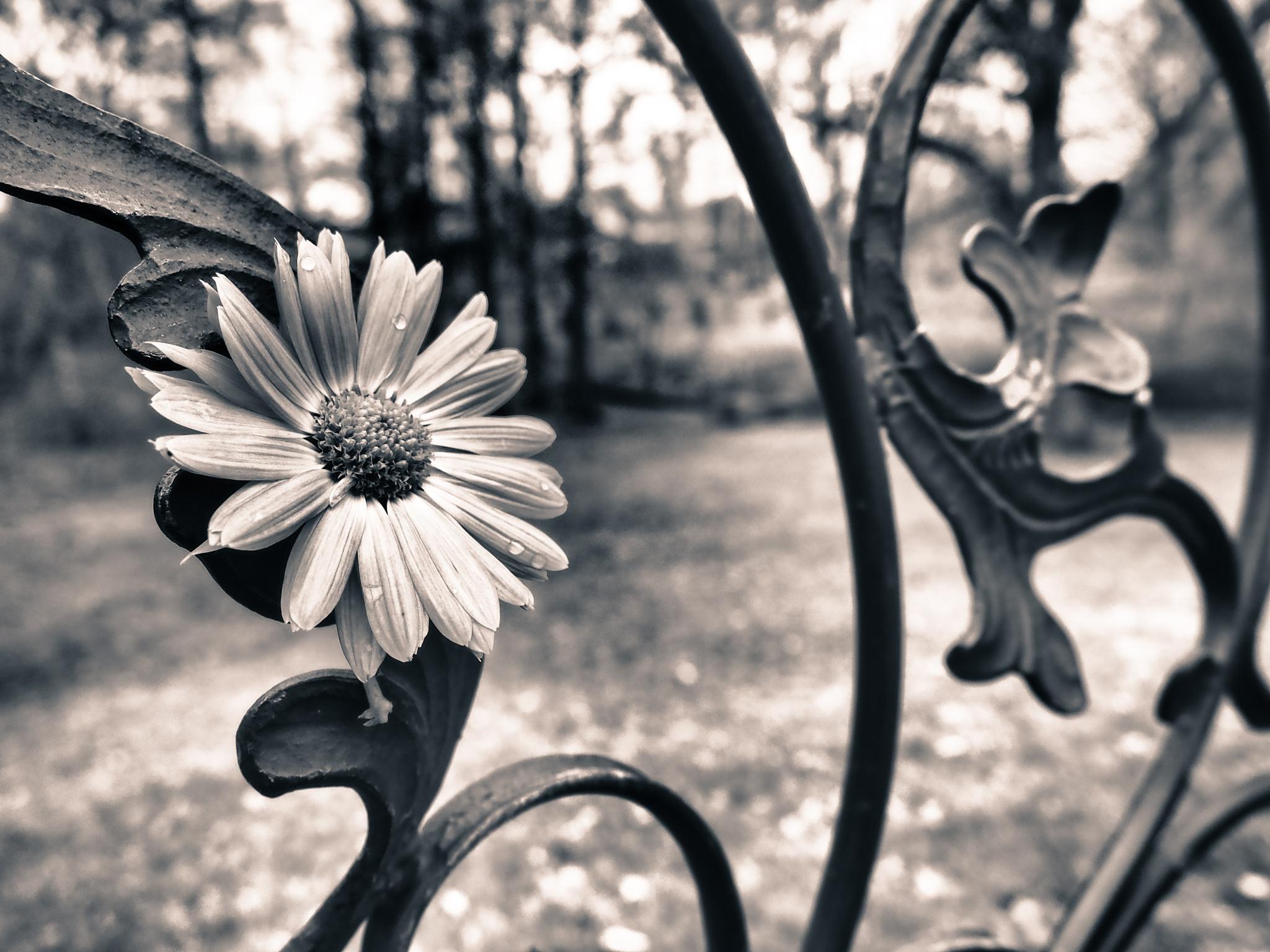 Berlin Flower Black & White by Jeans Brown Photography / Jens Schwarz