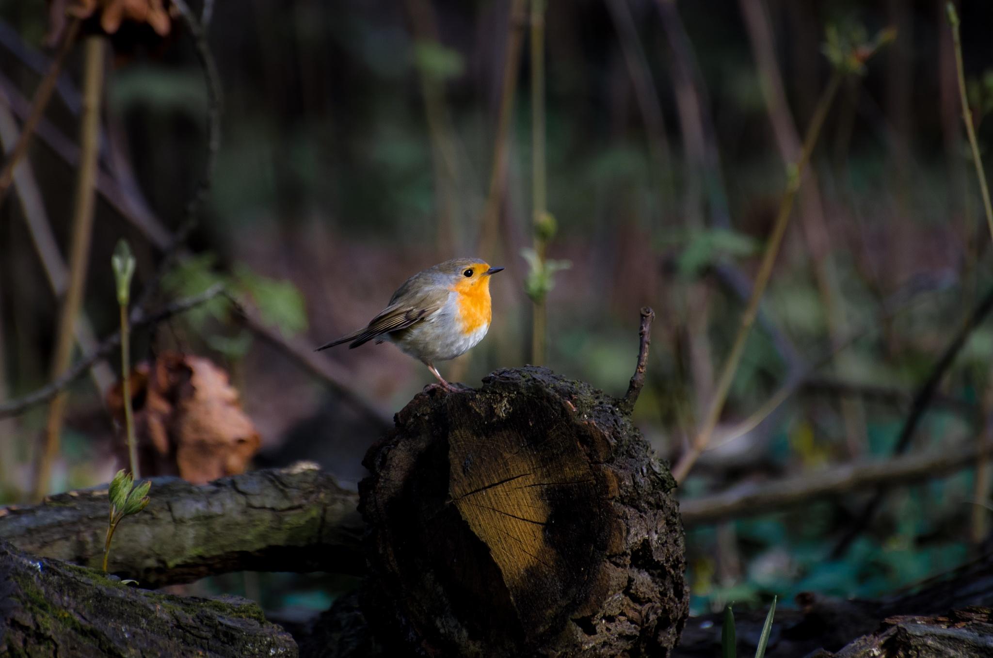European robin by Marianne Drews