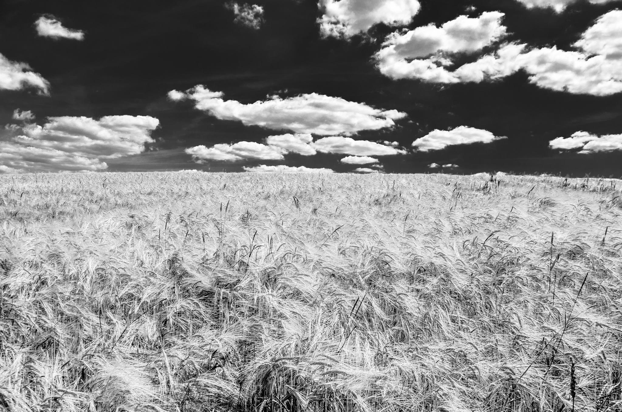 Grain field by Marianne Drews