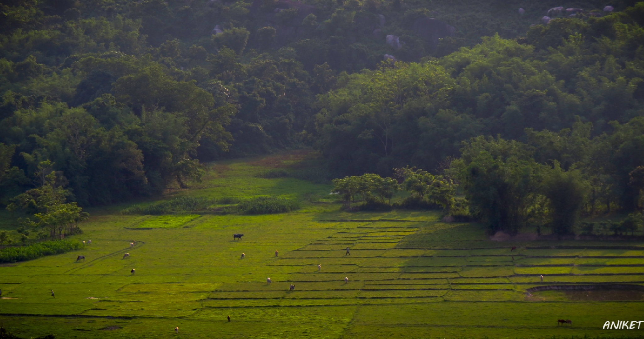 Rice field by Aniket