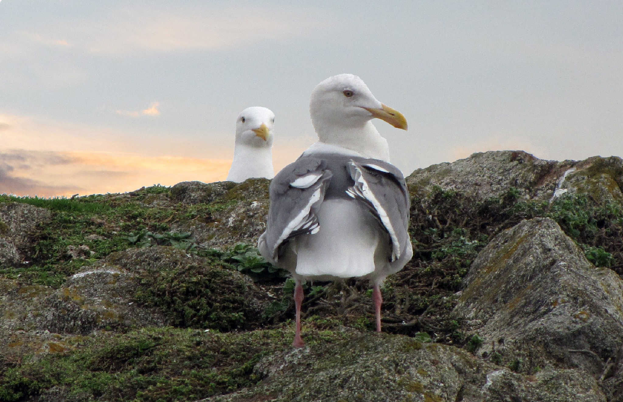 Gull Courtship Interrupted by Something by James R McWilliams