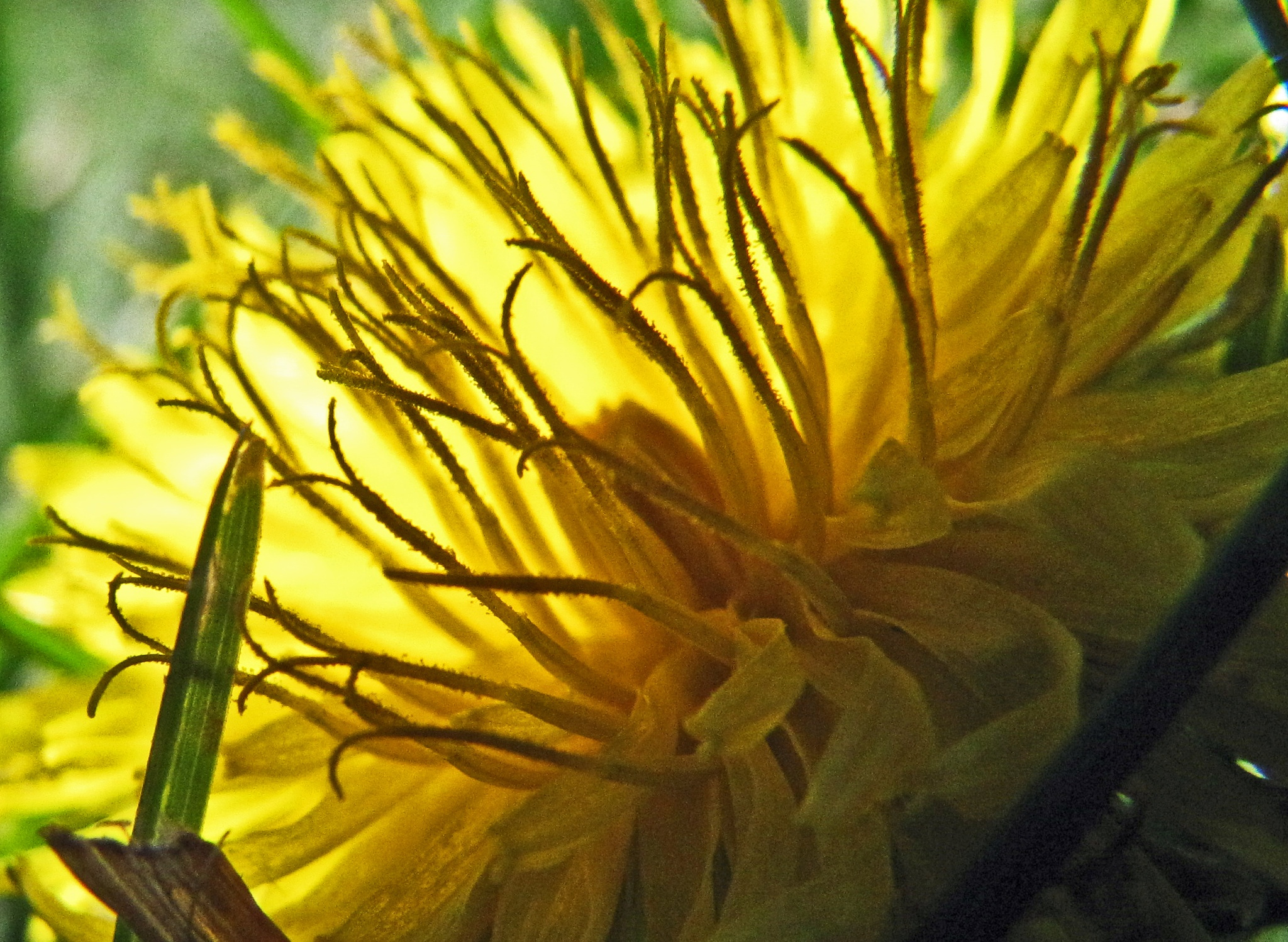 Glowing Dandelion Among the Blades of Grass by James R McWilliams