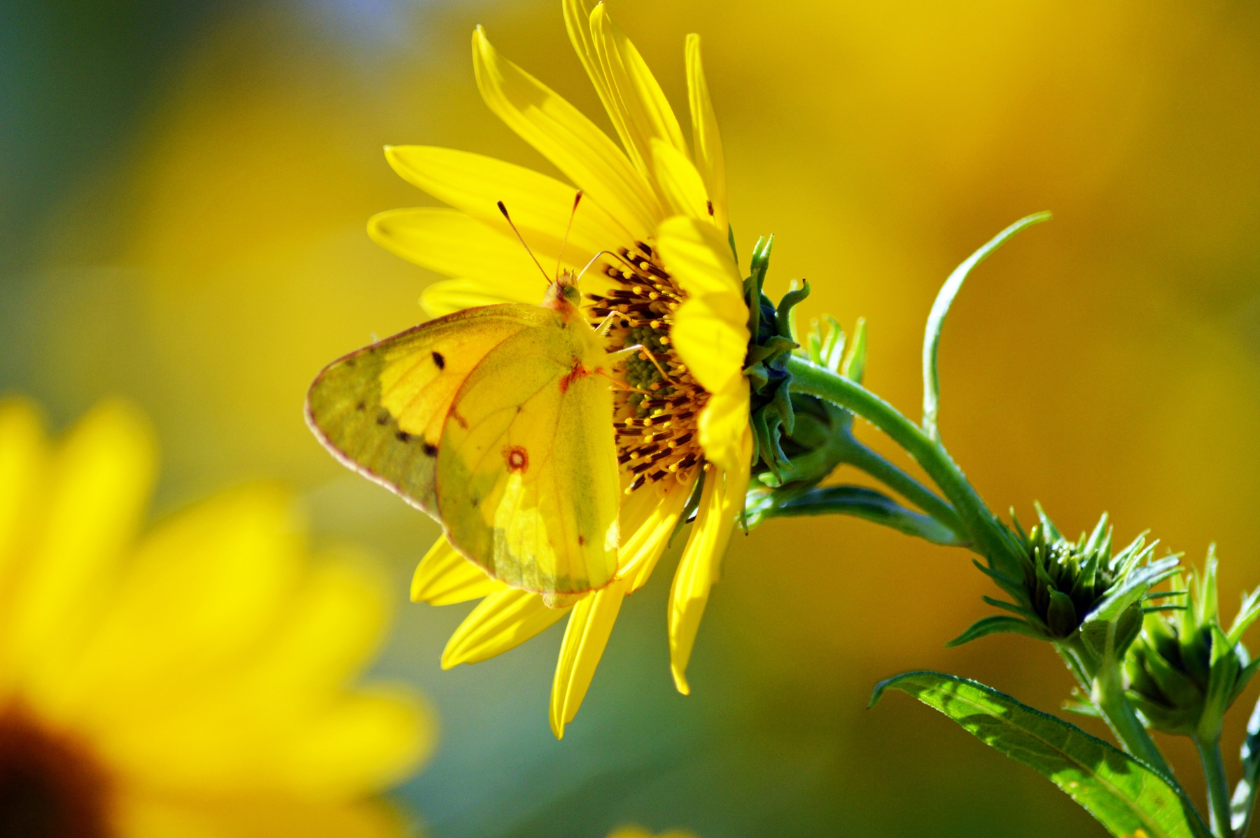 Sulfur Butterfly  by James R McWilliams